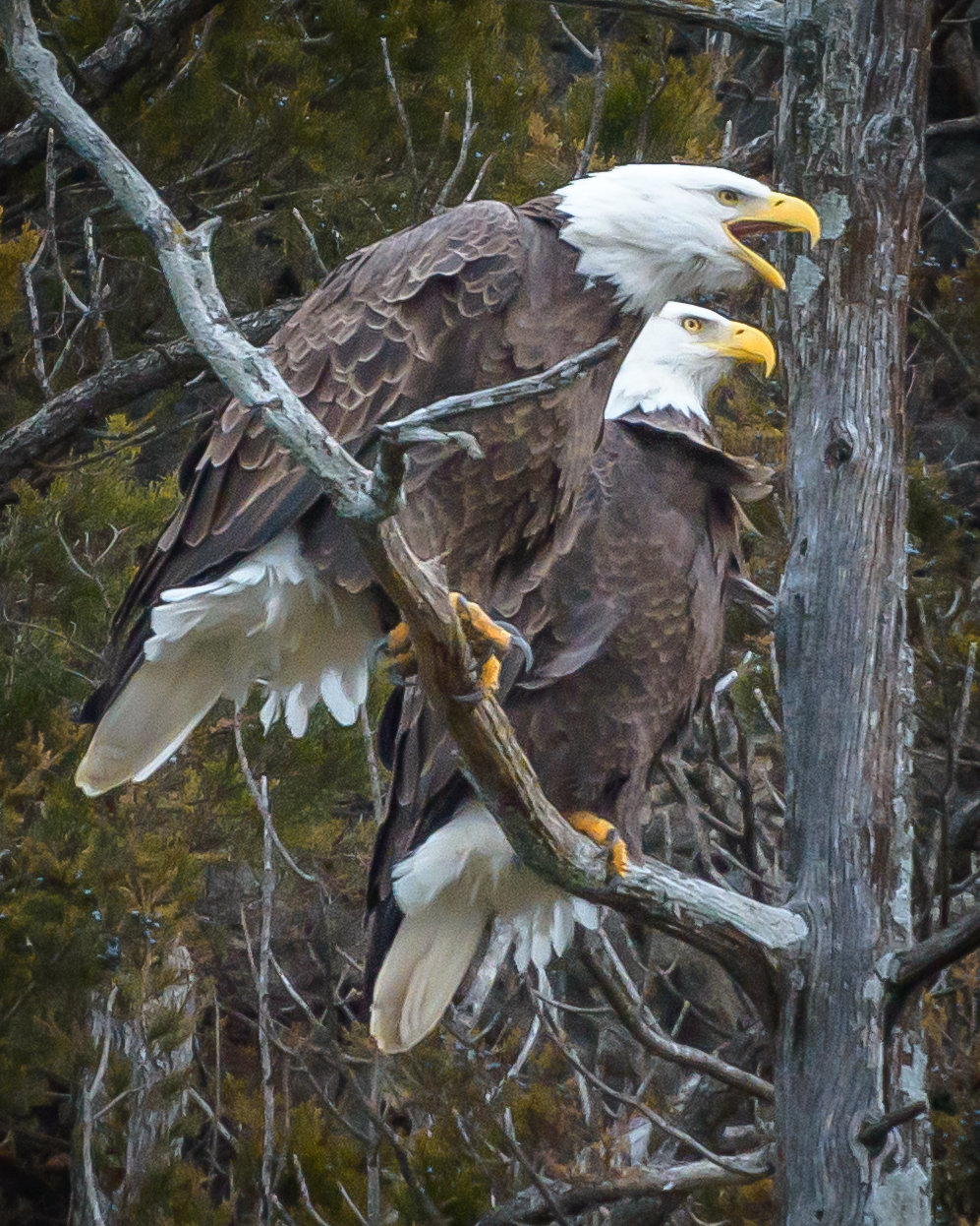 Bald Eagles at Bagnell Dam, USA