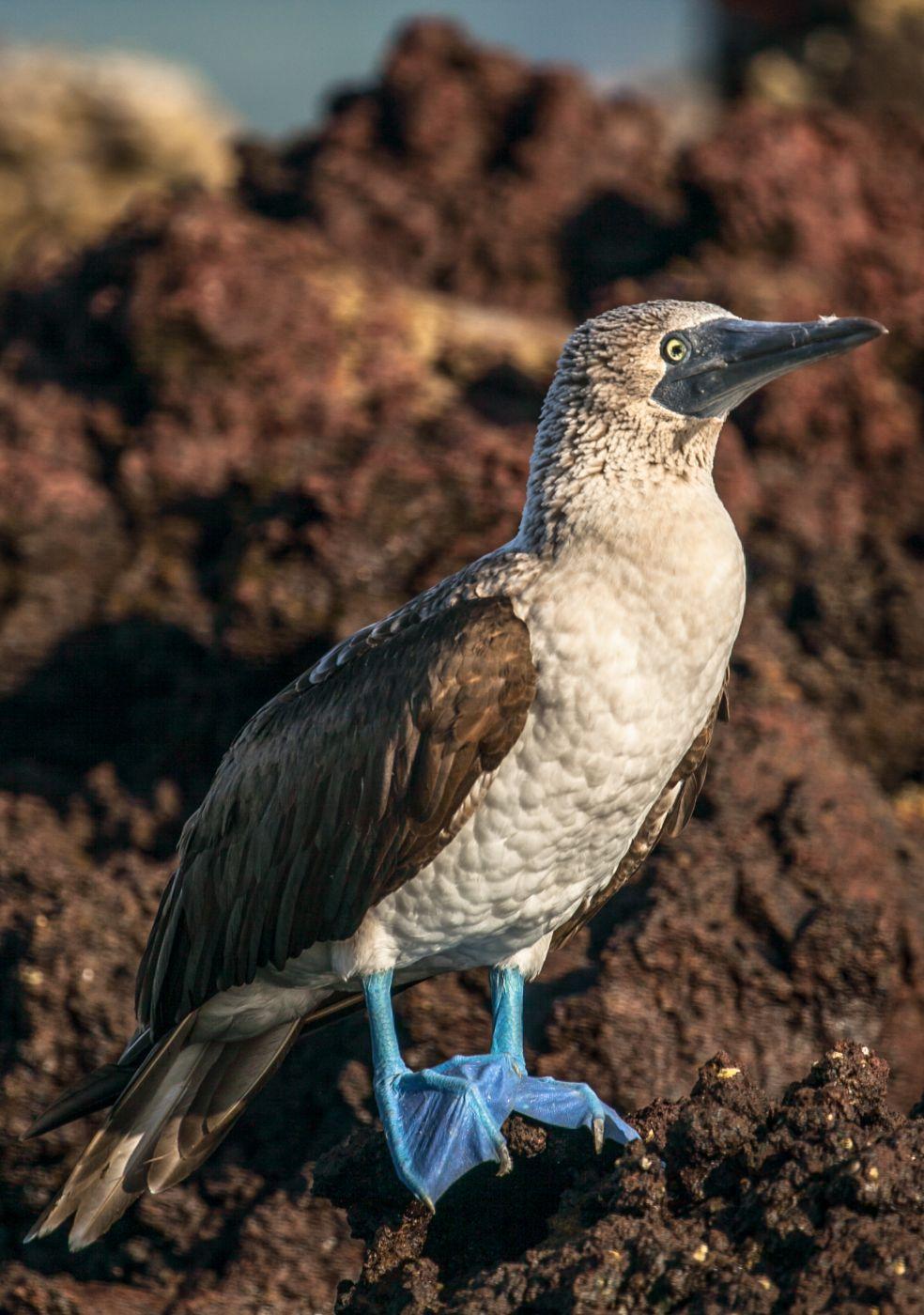 Blue Footed Booby seabird Galapagos Islands, Ecuador