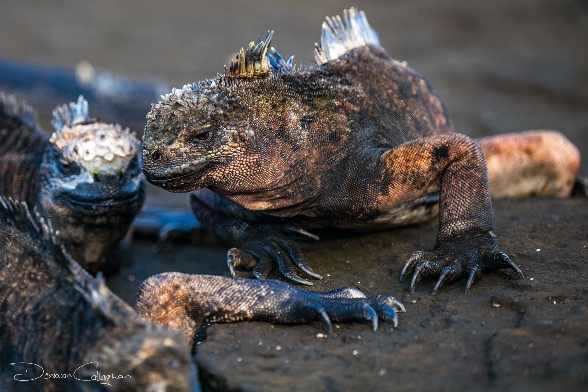 Galápagos marine iguana, Ecuador