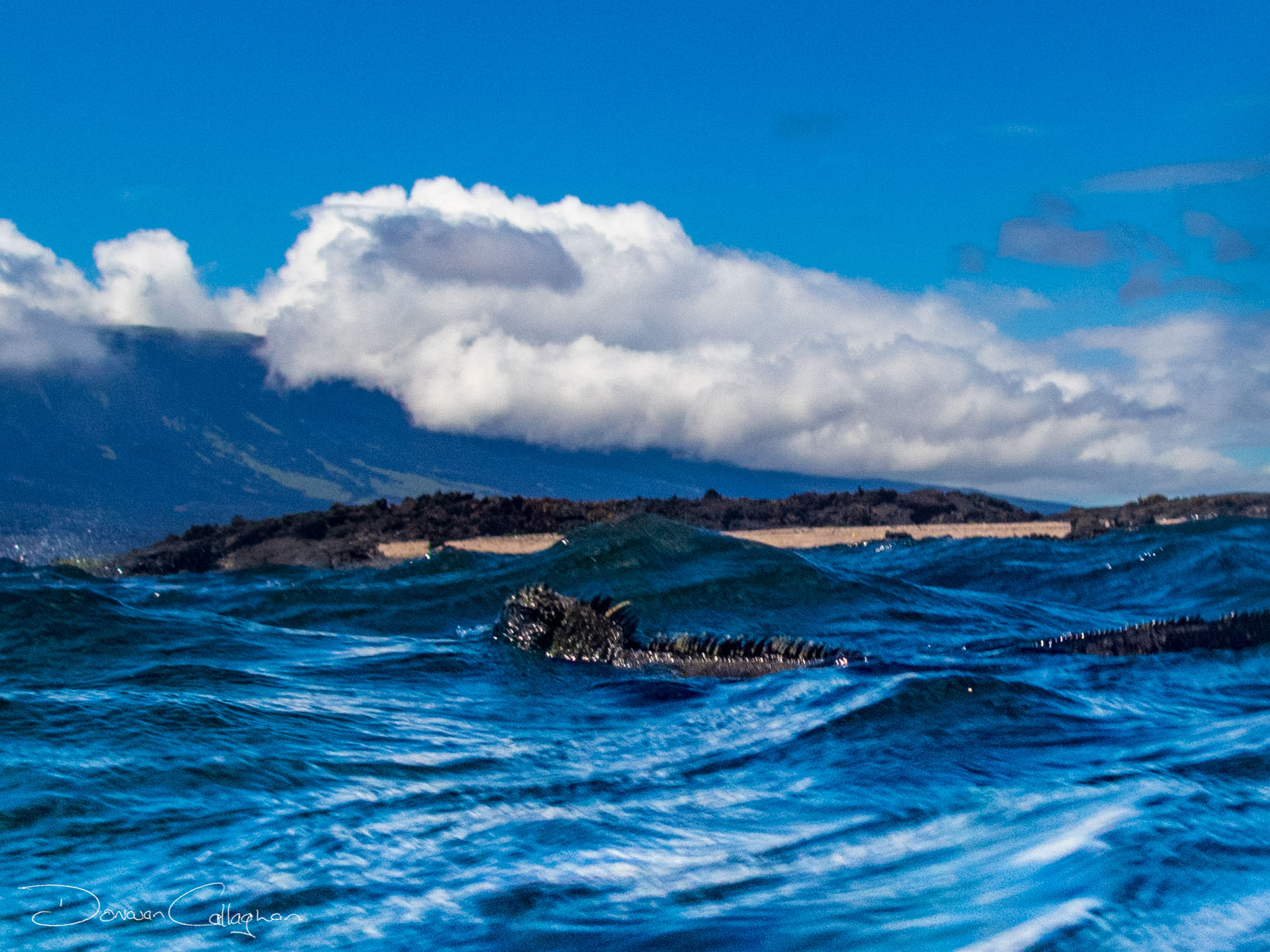 Marine iguana swimming Galapagos Islands, Ecuador