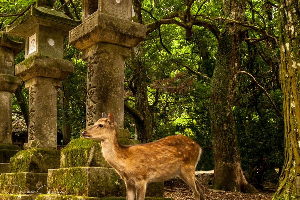 Nara Deer and Stone Lanterns, Japan