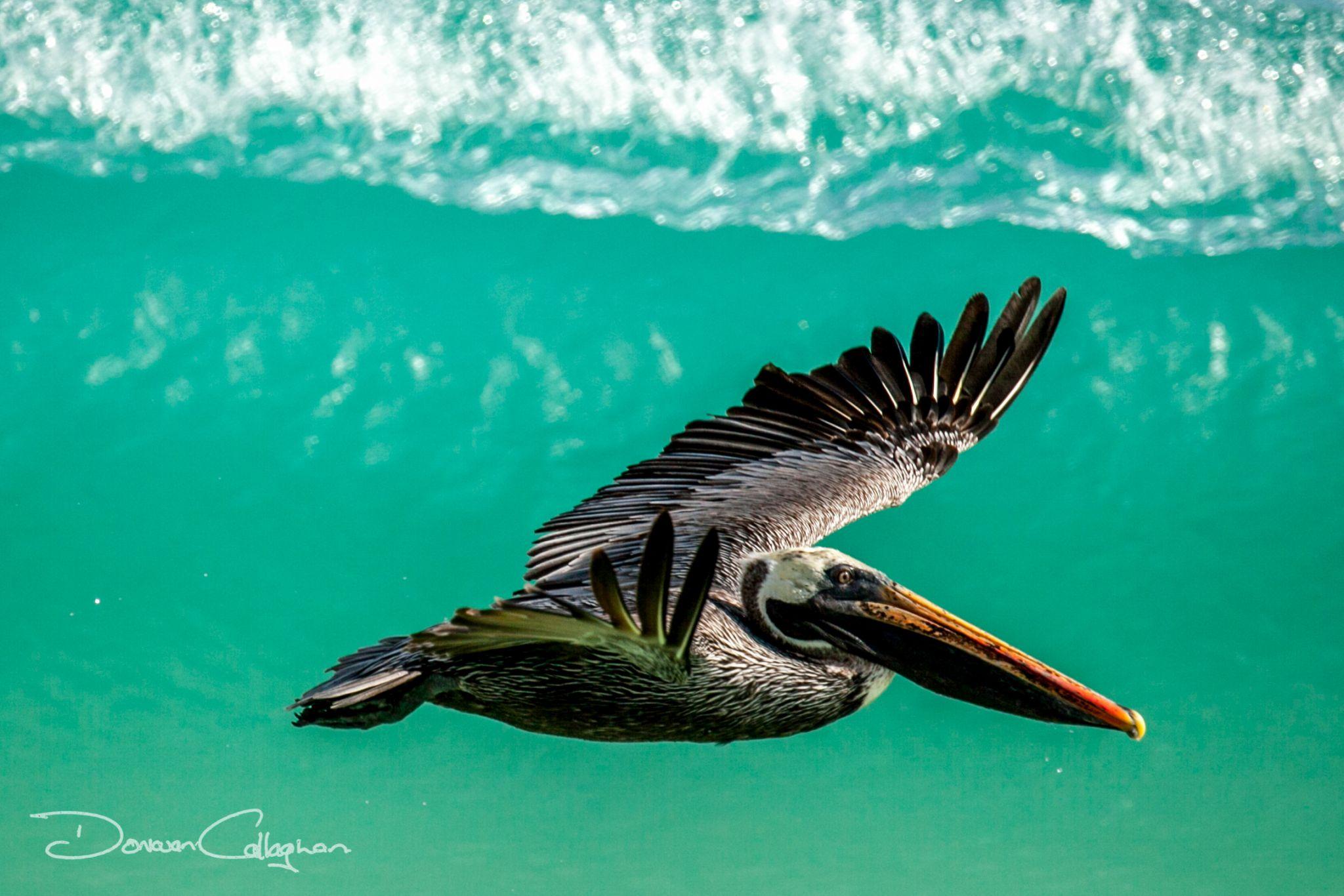 Pelican surfing the waves Galapagos Islands, Ecuador
