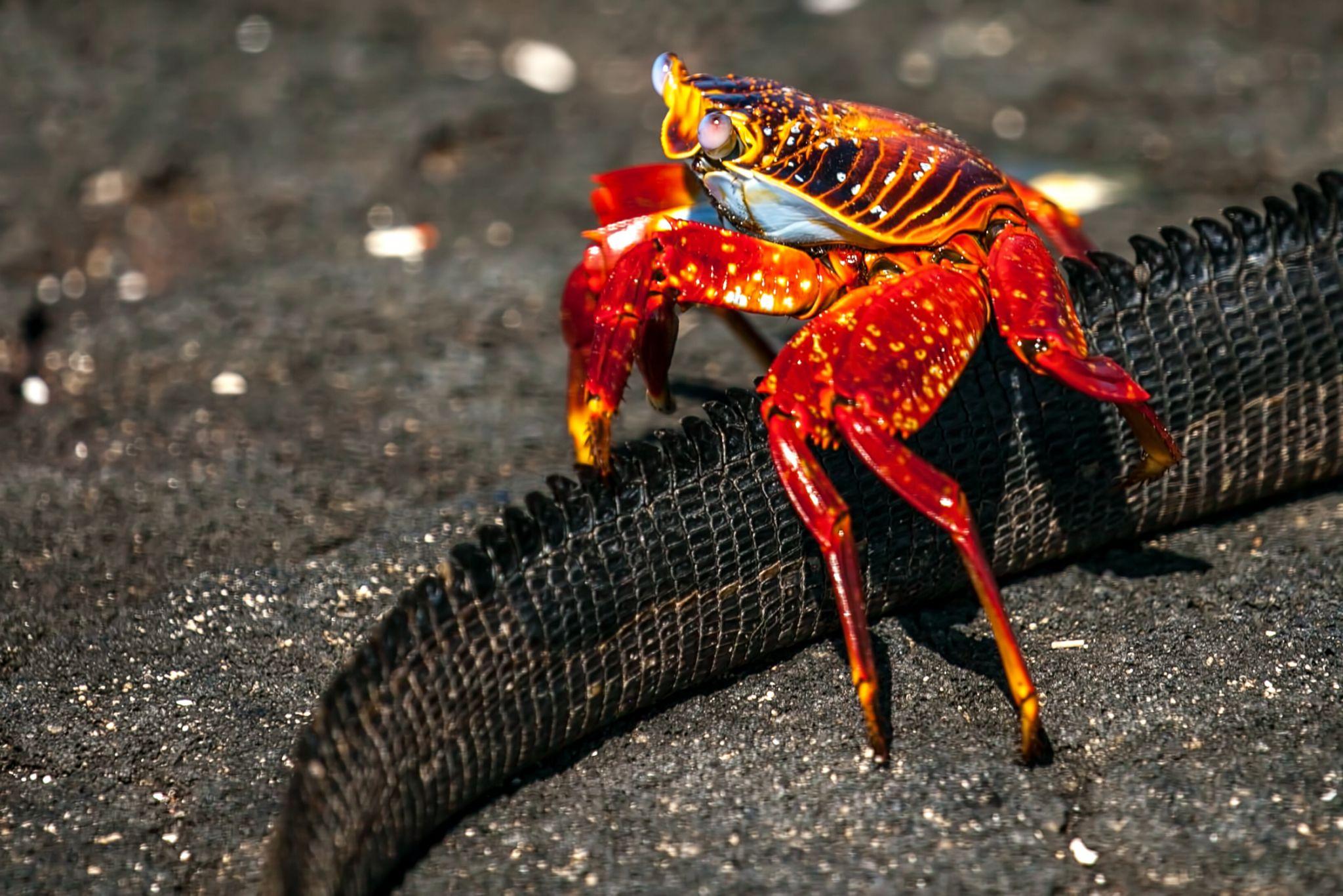 Sally Lightfoot crab on Iguana tail Galapagos Islands, Ecuador