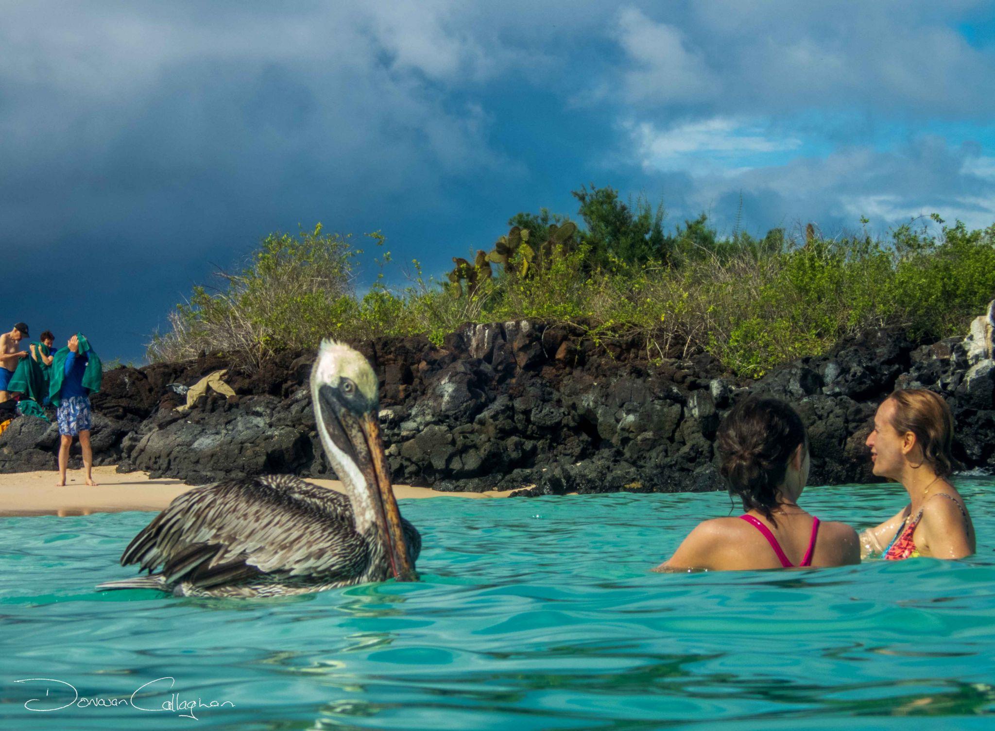 Swimming with wild Pelicans Galapagos Islands, Ecuador