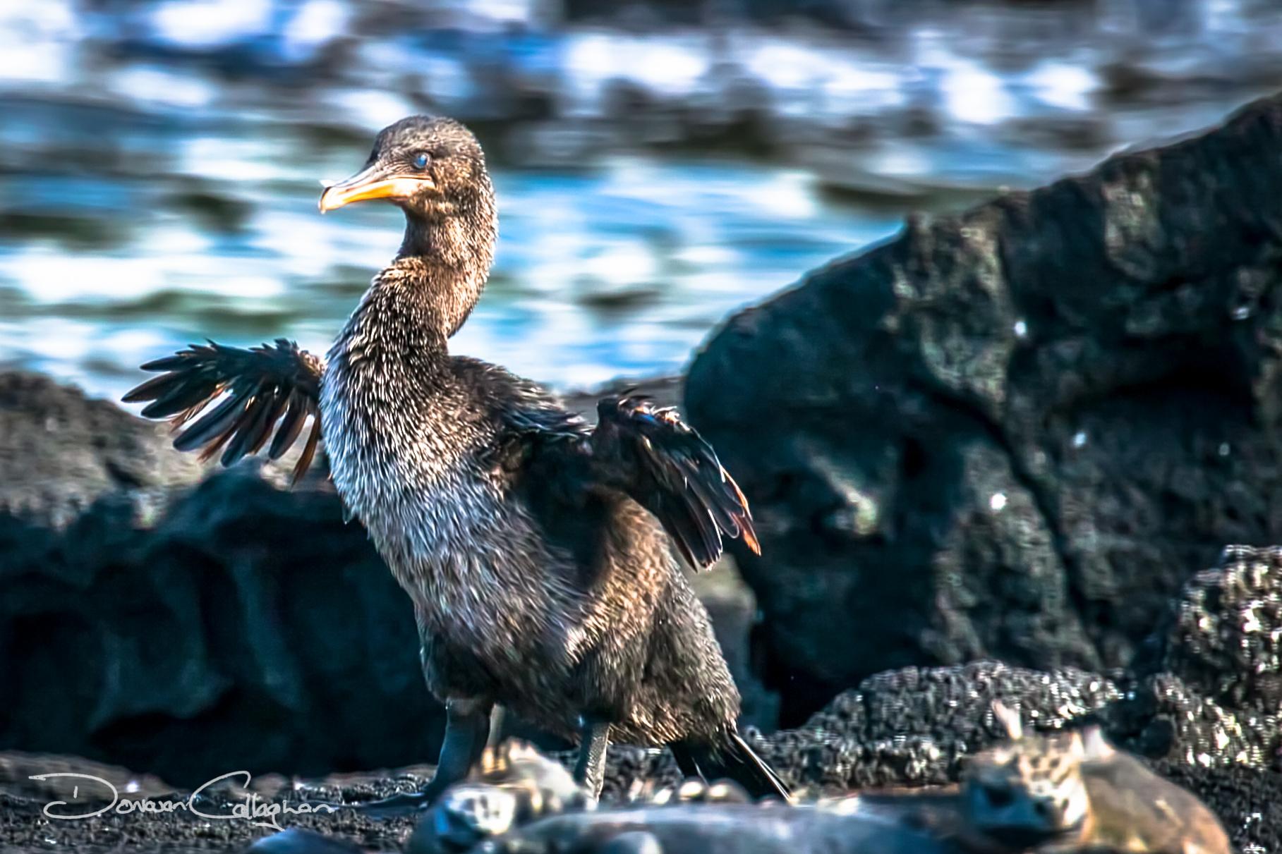 The flightless cormorant Galapagos Islands, Ecuador