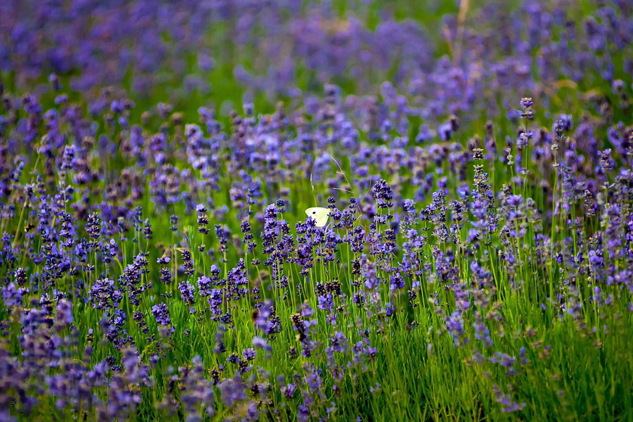 Lavendelfelder, Germany