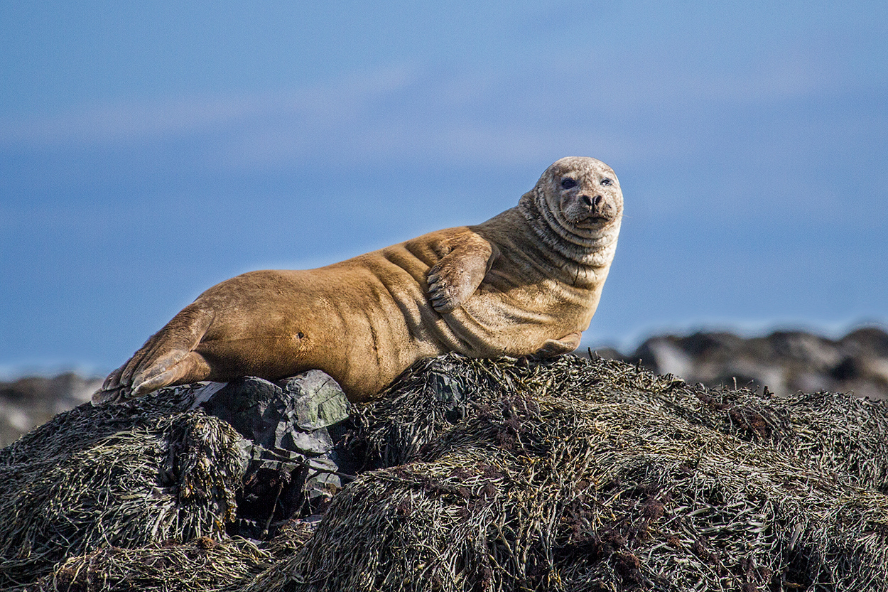 Seal at Ytri Tunga, Iceland