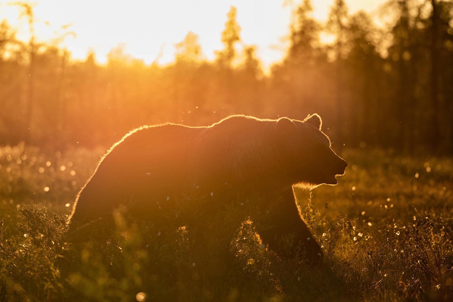 Wild Brown Bear Center Finland, Finland