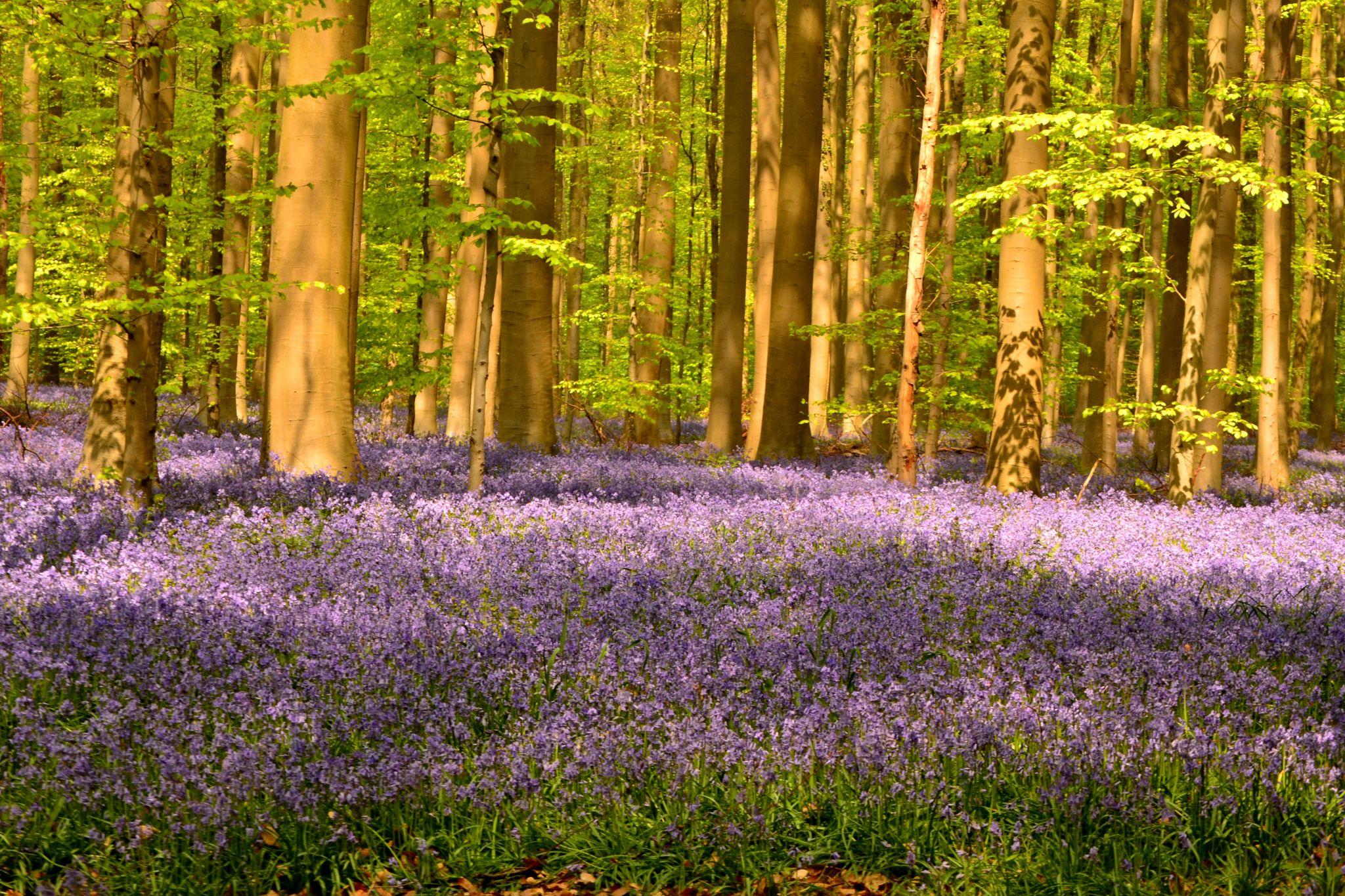 Bluebell Forest Halle, Belgium