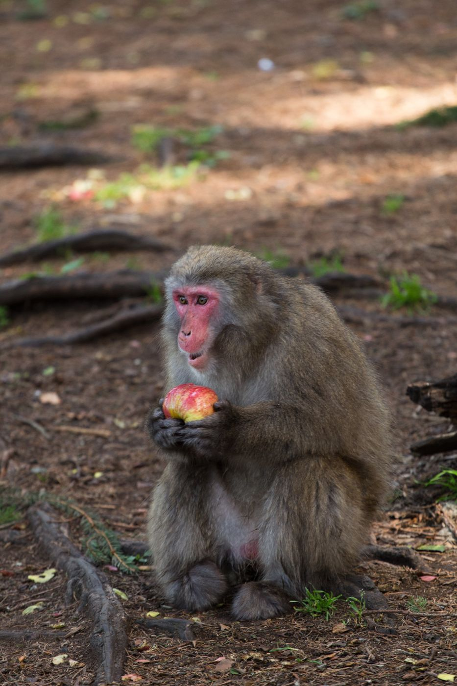 Japanise Macaco, Austria