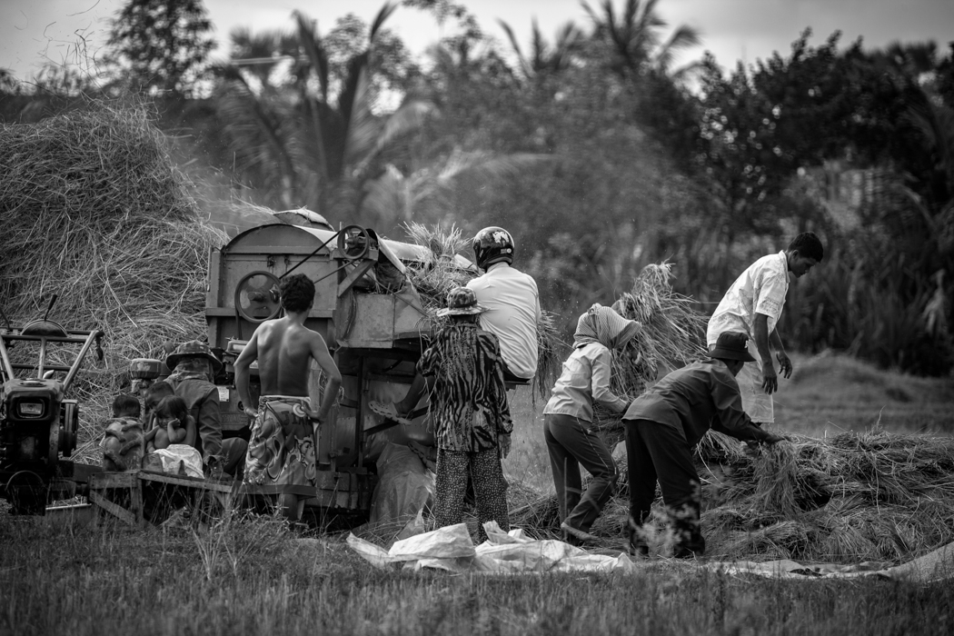 Family bringing in the harvest Siem Reap, Cambodia