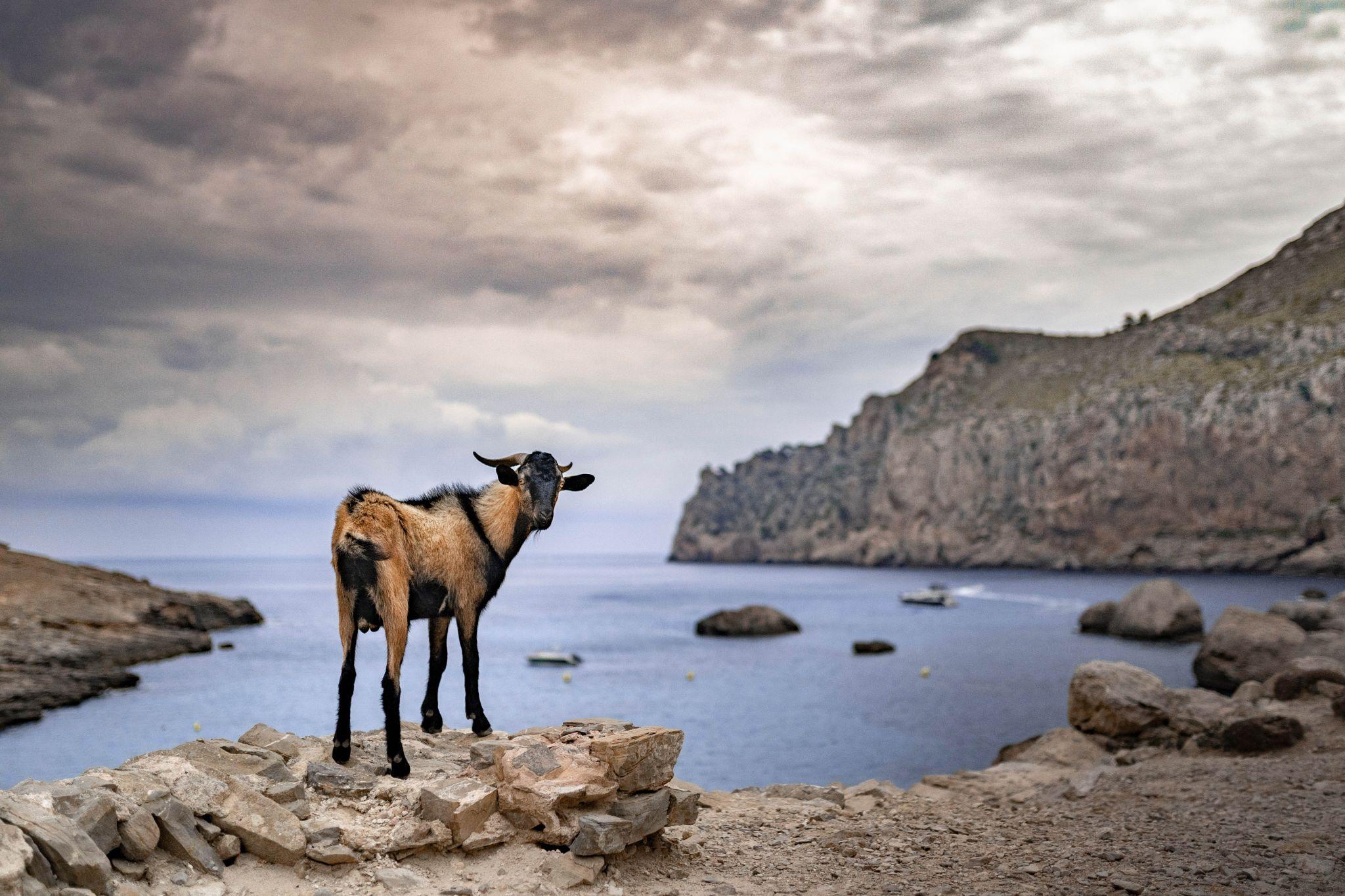Goats at Cala Figuera (Cap de Formentor), Spain