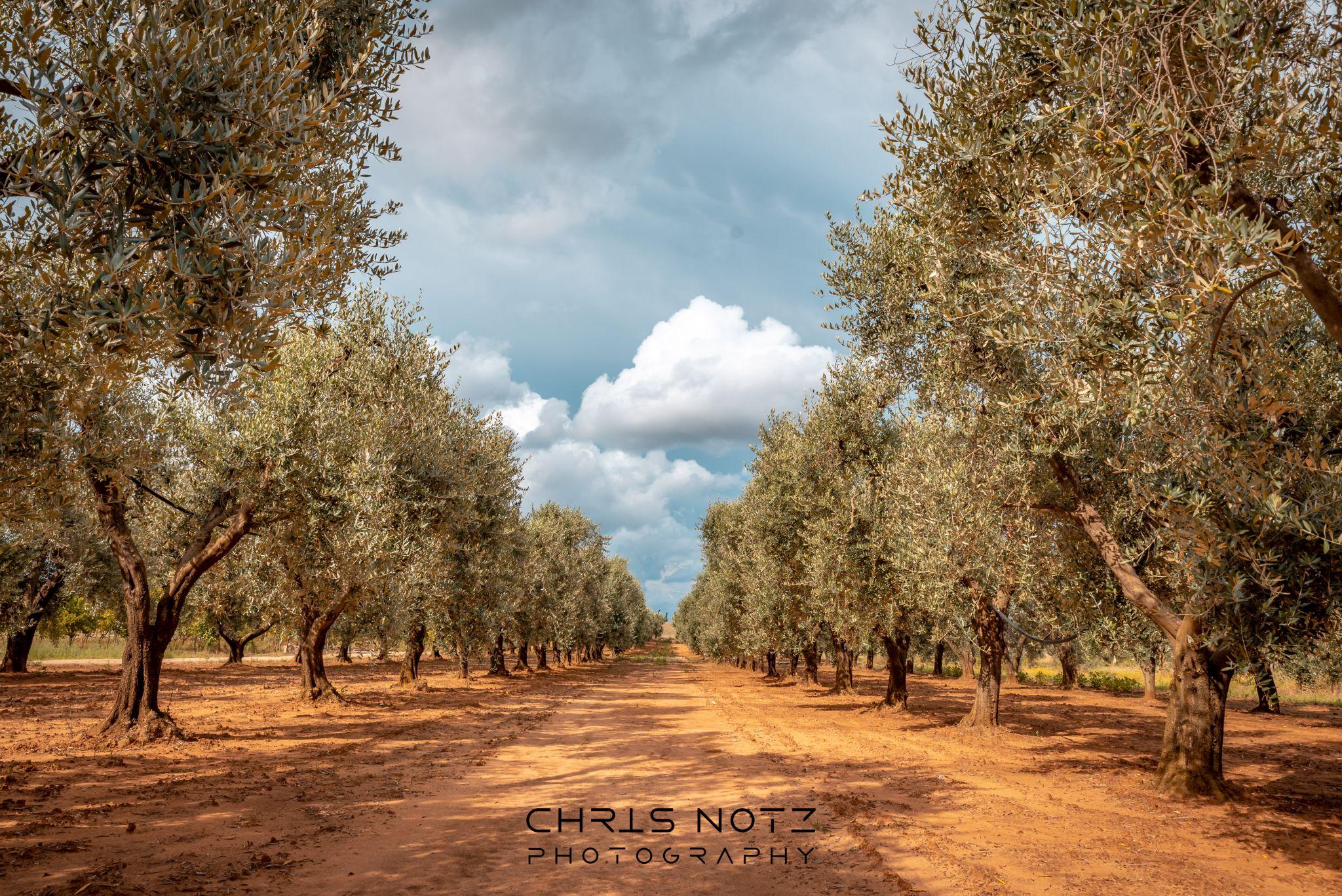 Olive Trees, Italy