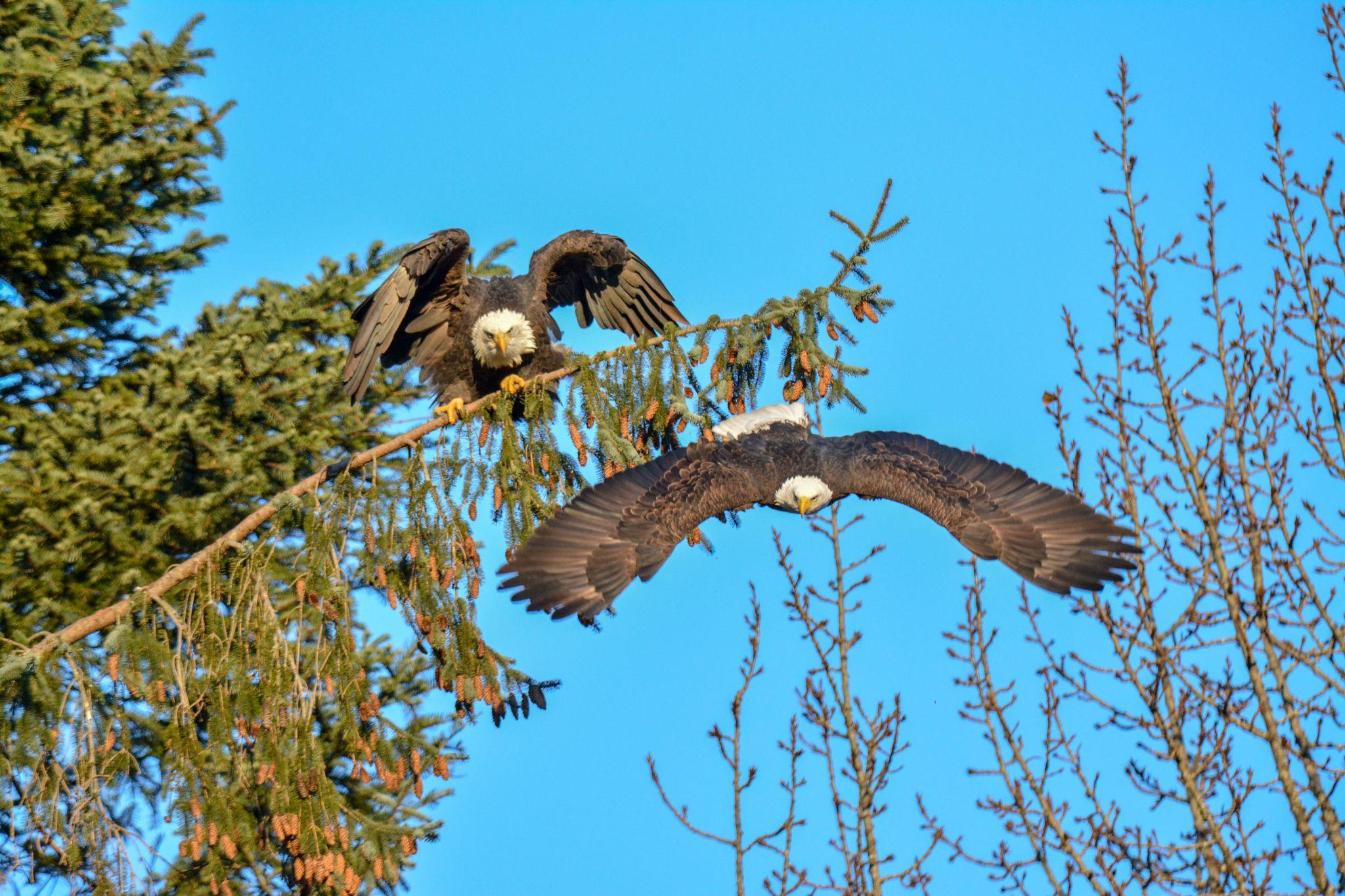 Squamish Eagles, Canada