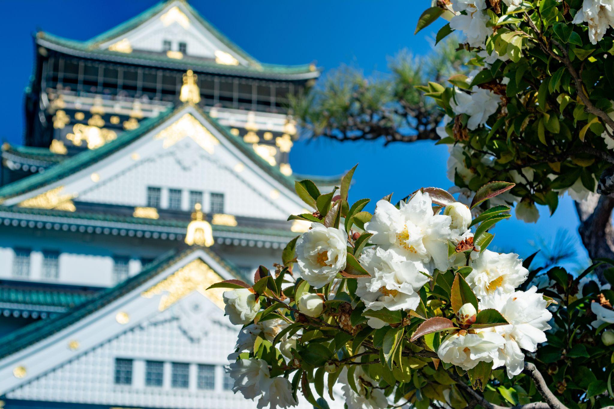 Osaka Castle through camellia, Japan