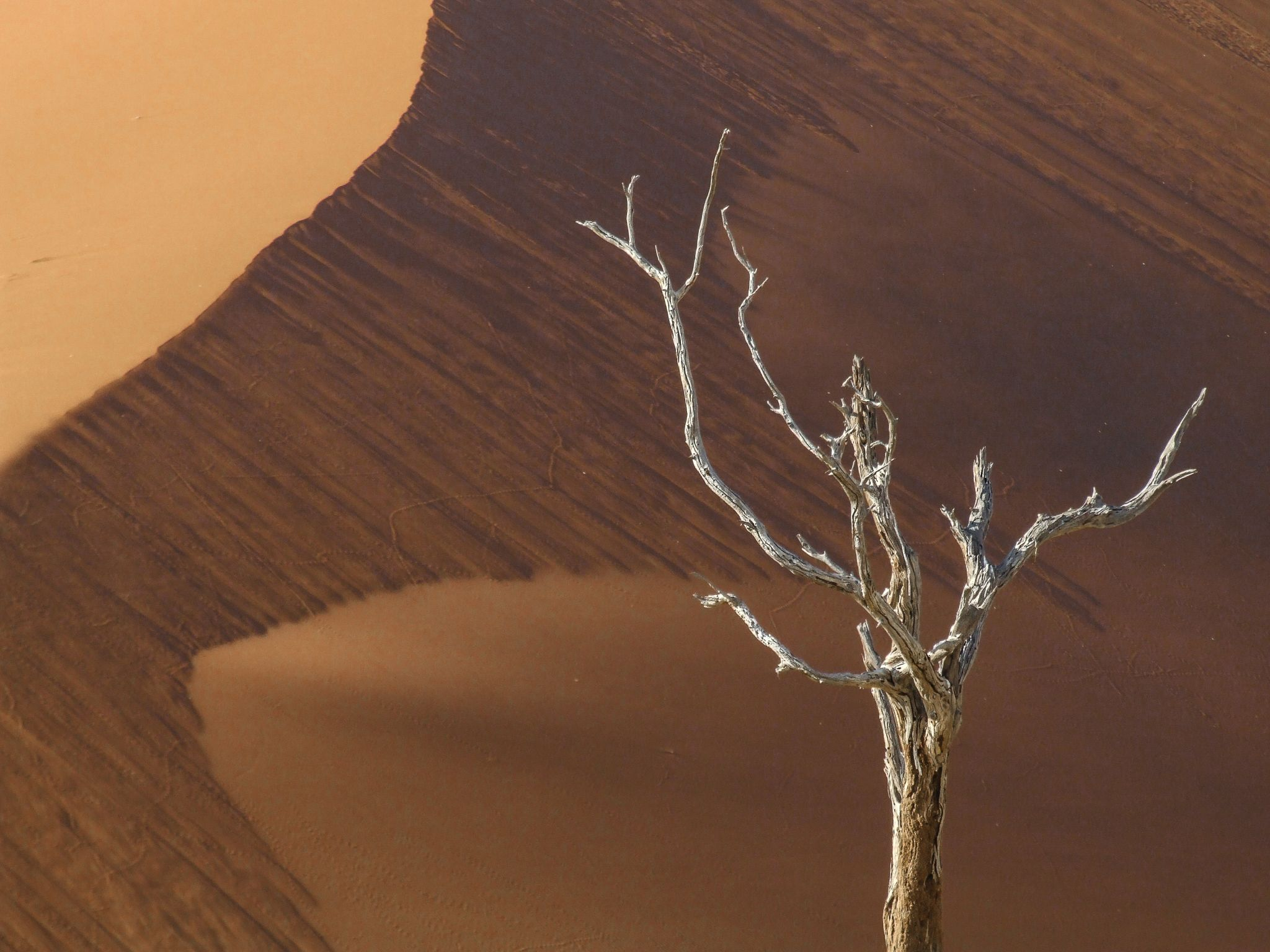 Red dune and tree, Namibia