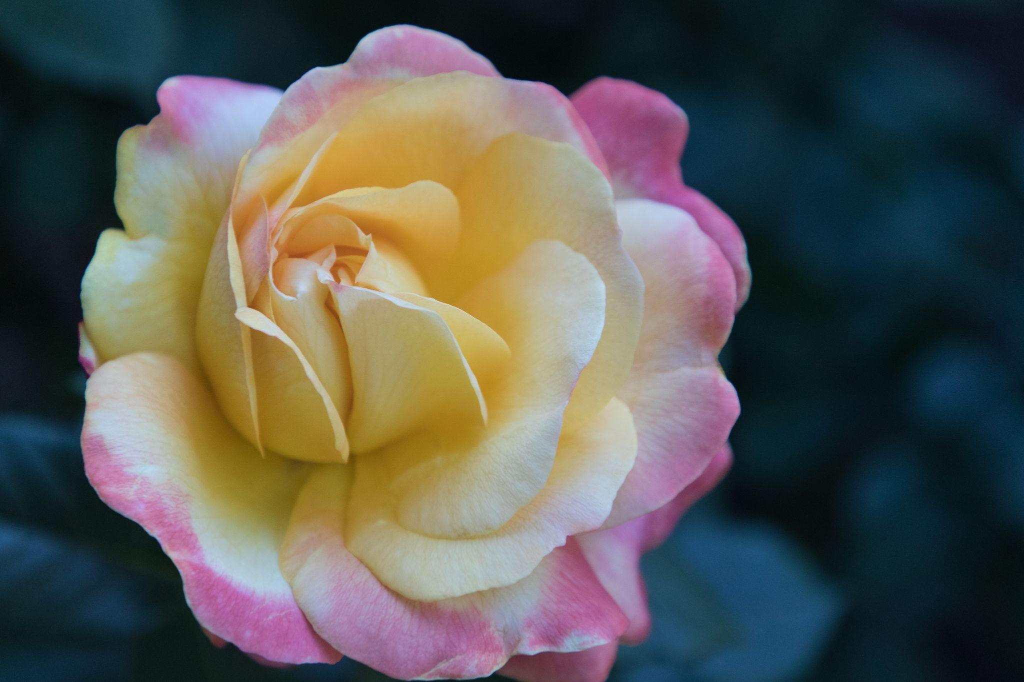 Rose Garden, Portland, USA