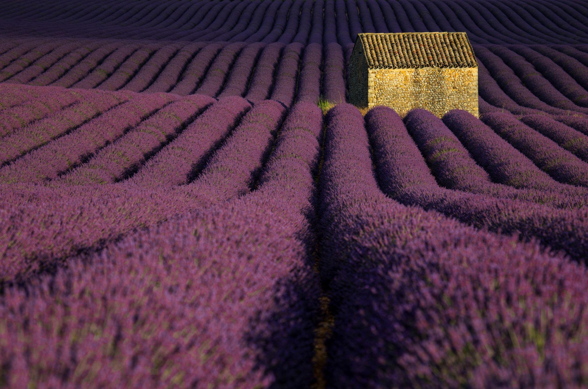 Waves of Lavender, France