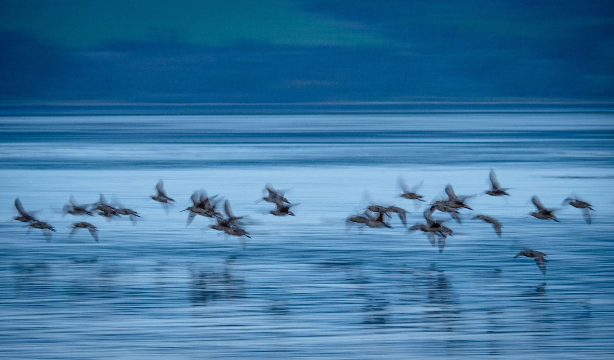 Blue birds on Tamales Bay, USA