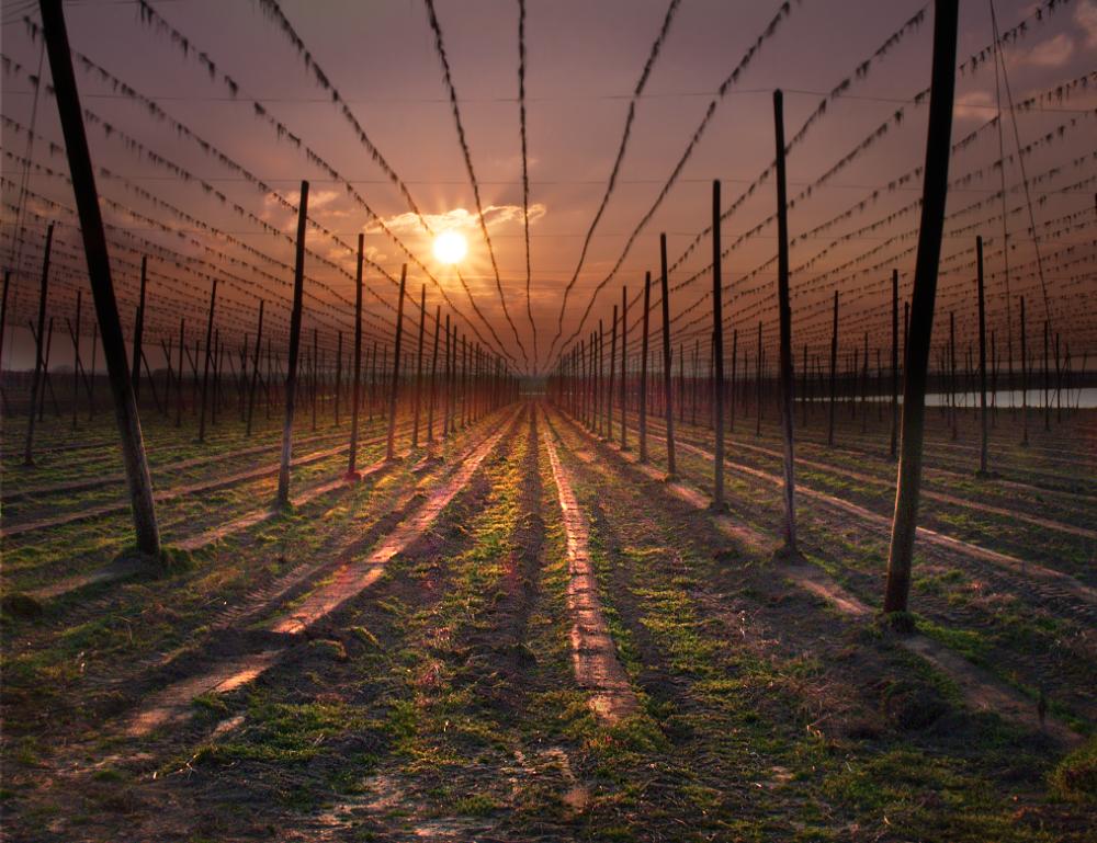 Hops netting, Germany
