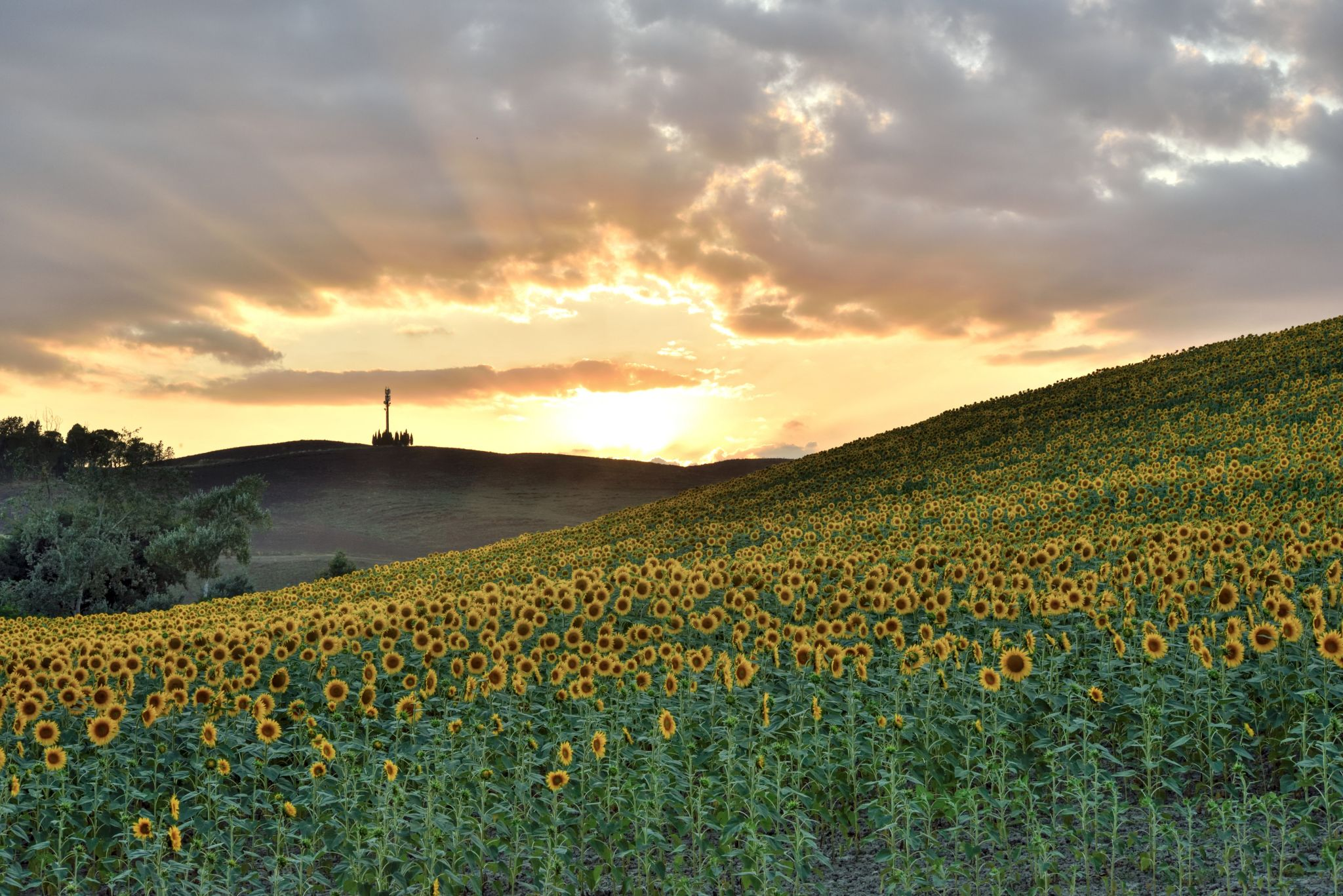 Summer in Tuscany - Sunflowers field, Italy