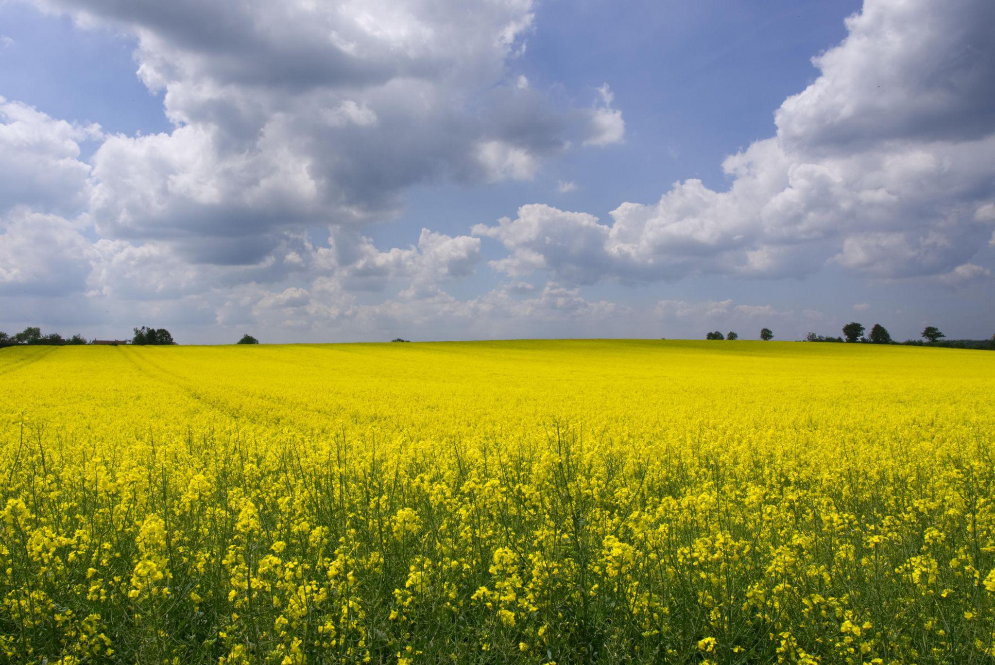 Field of rape in full flower, Germany