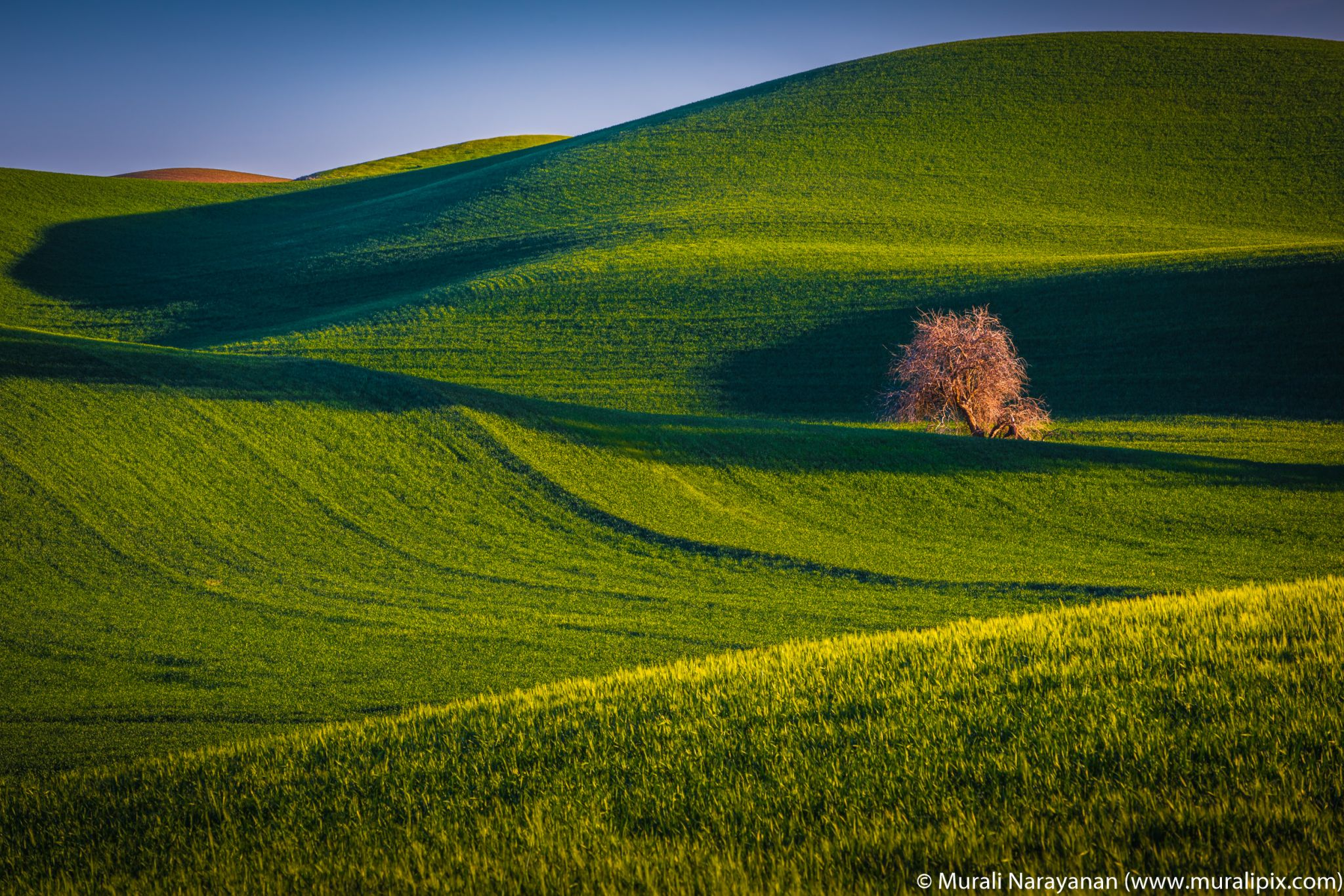 Another Palouse Lonely Tree, USA