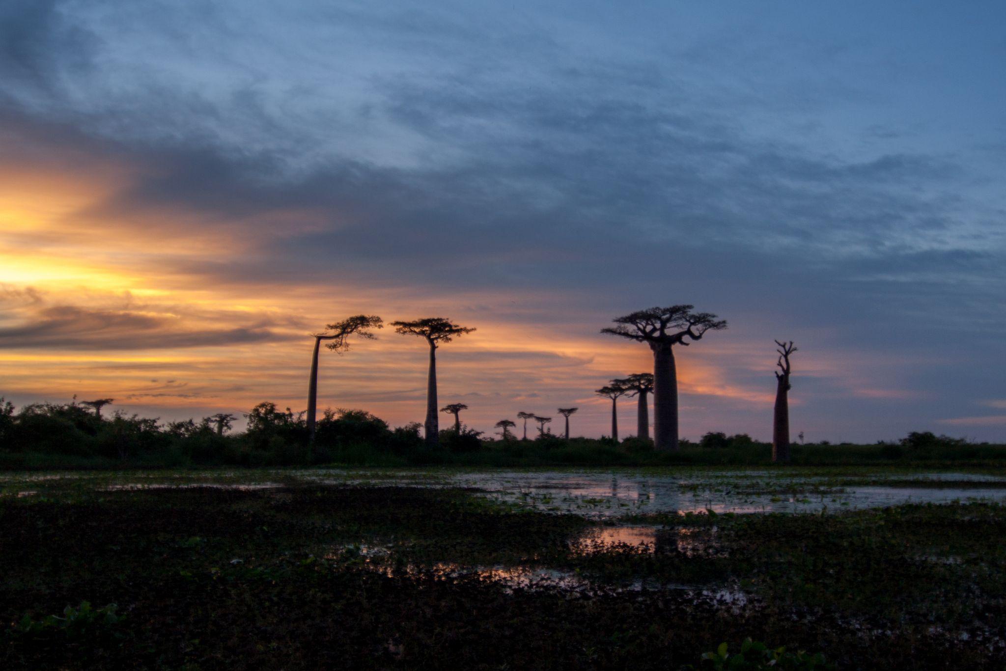 Baobab Allee bei Morondava, Madagascar