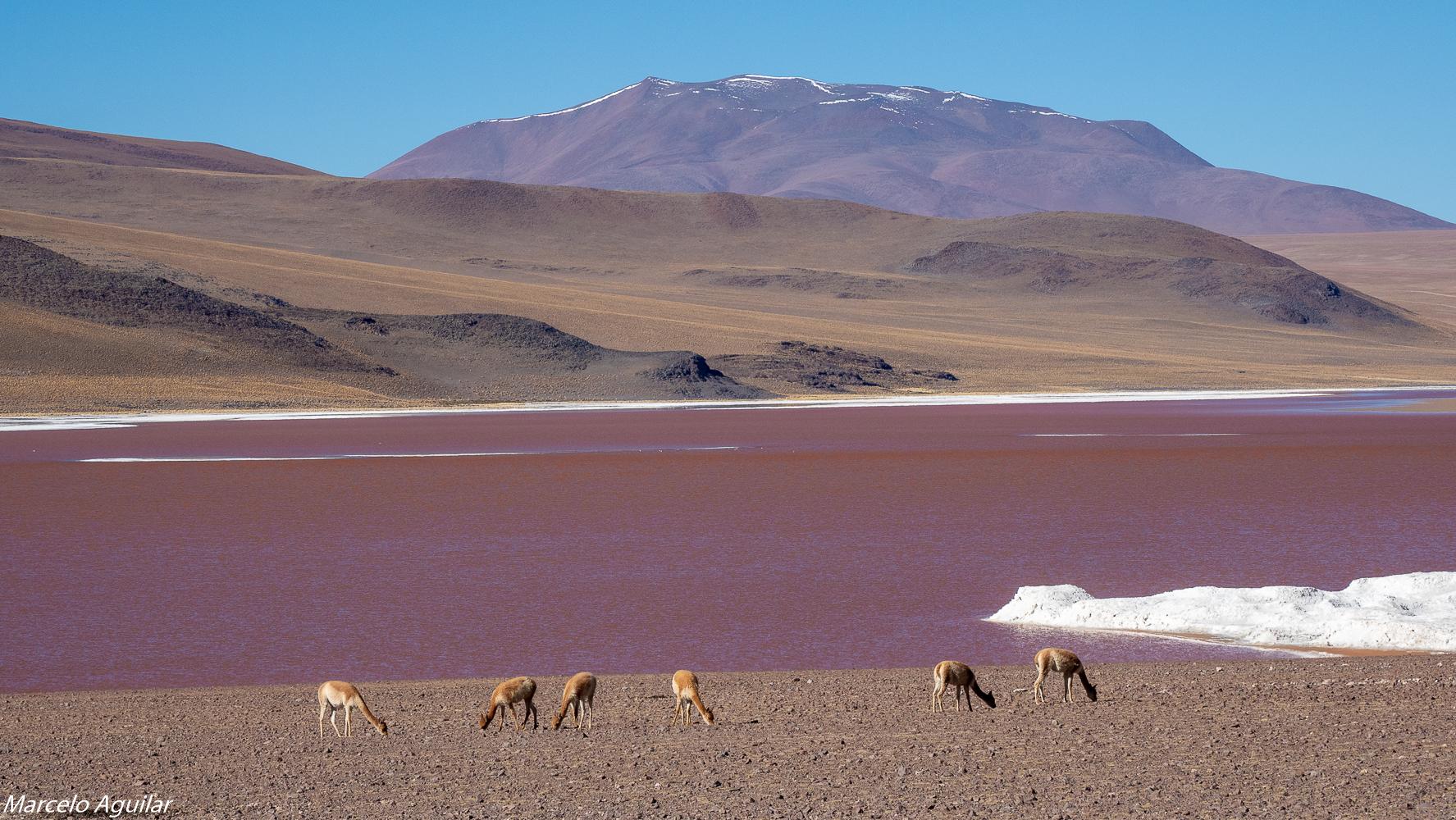 Laguna colorada et vicunas, Bolivia
