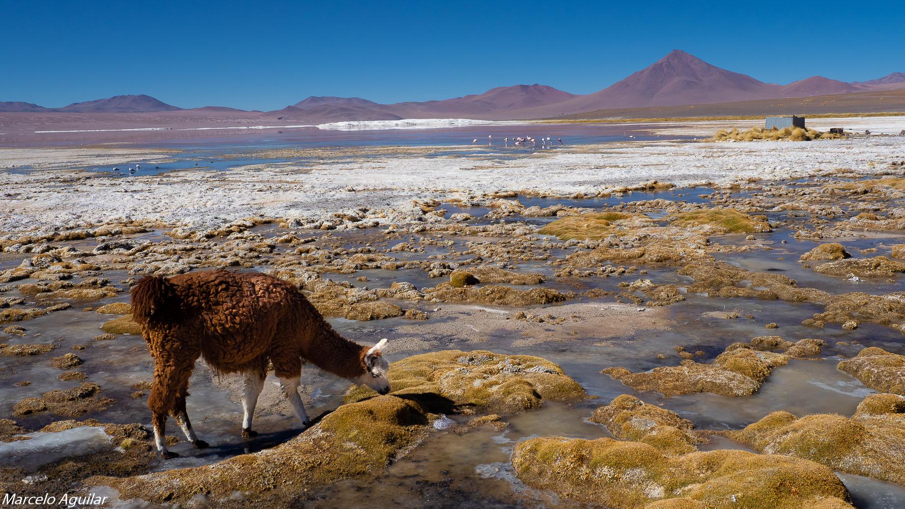LLama en laguna colorada, Bolivia