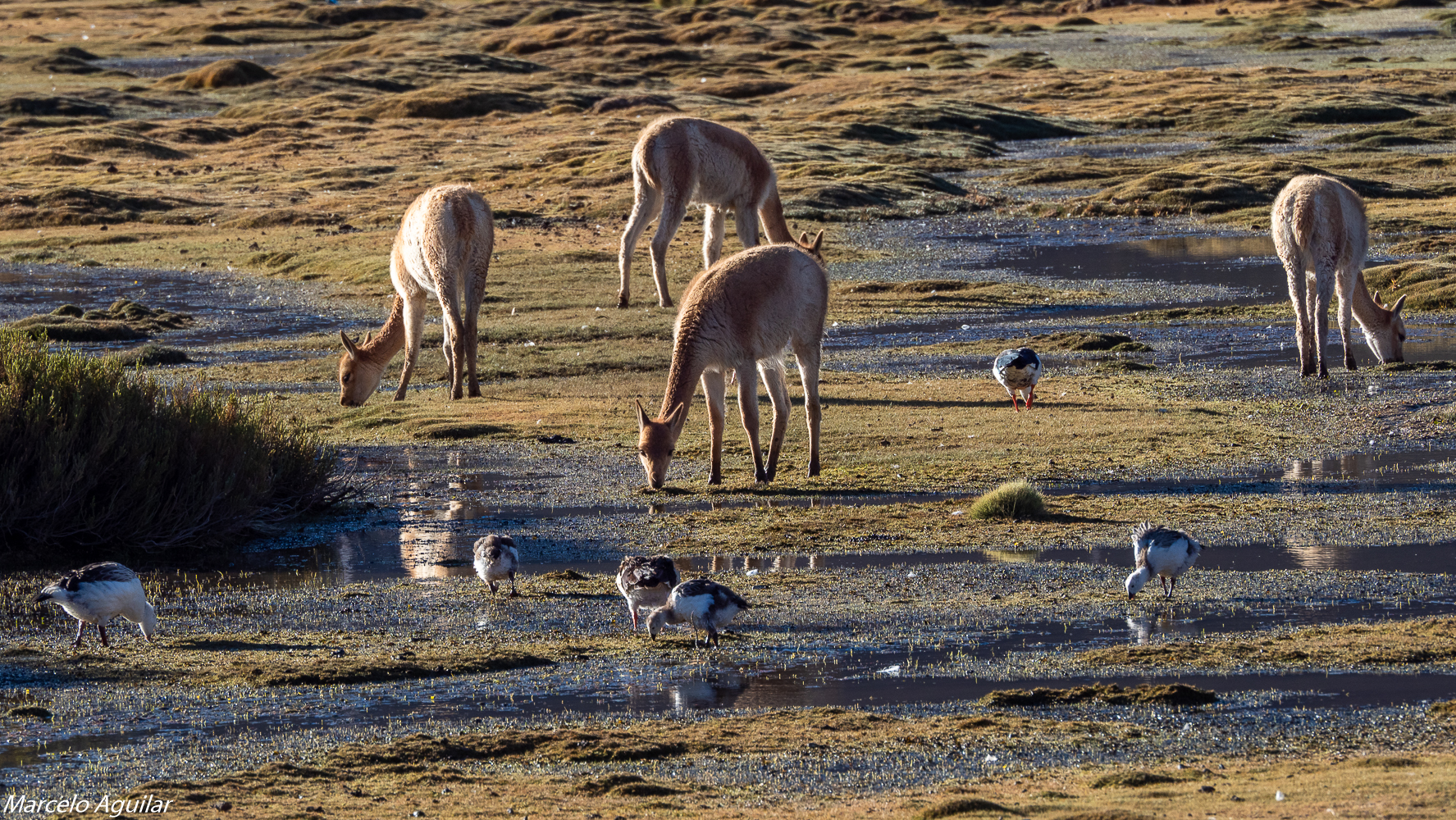 wild vicunas, Chile