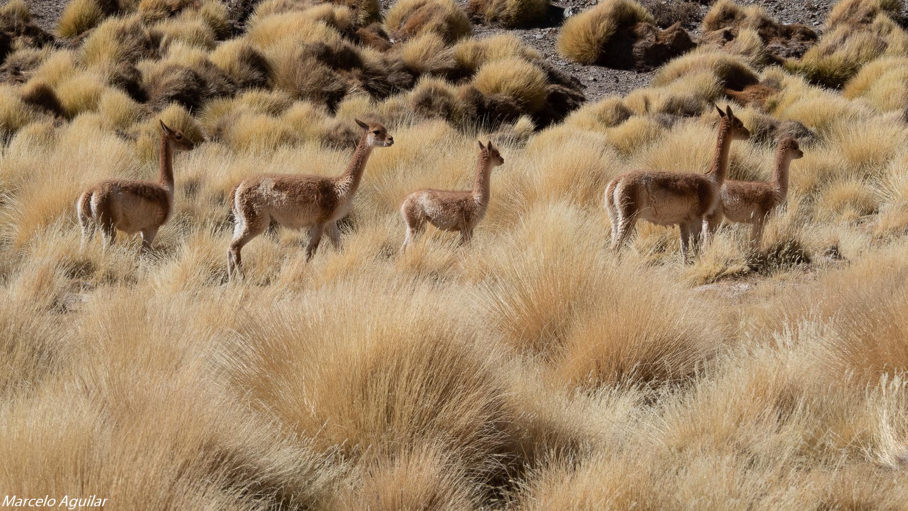 Wildlife at vega colorada, Argentina