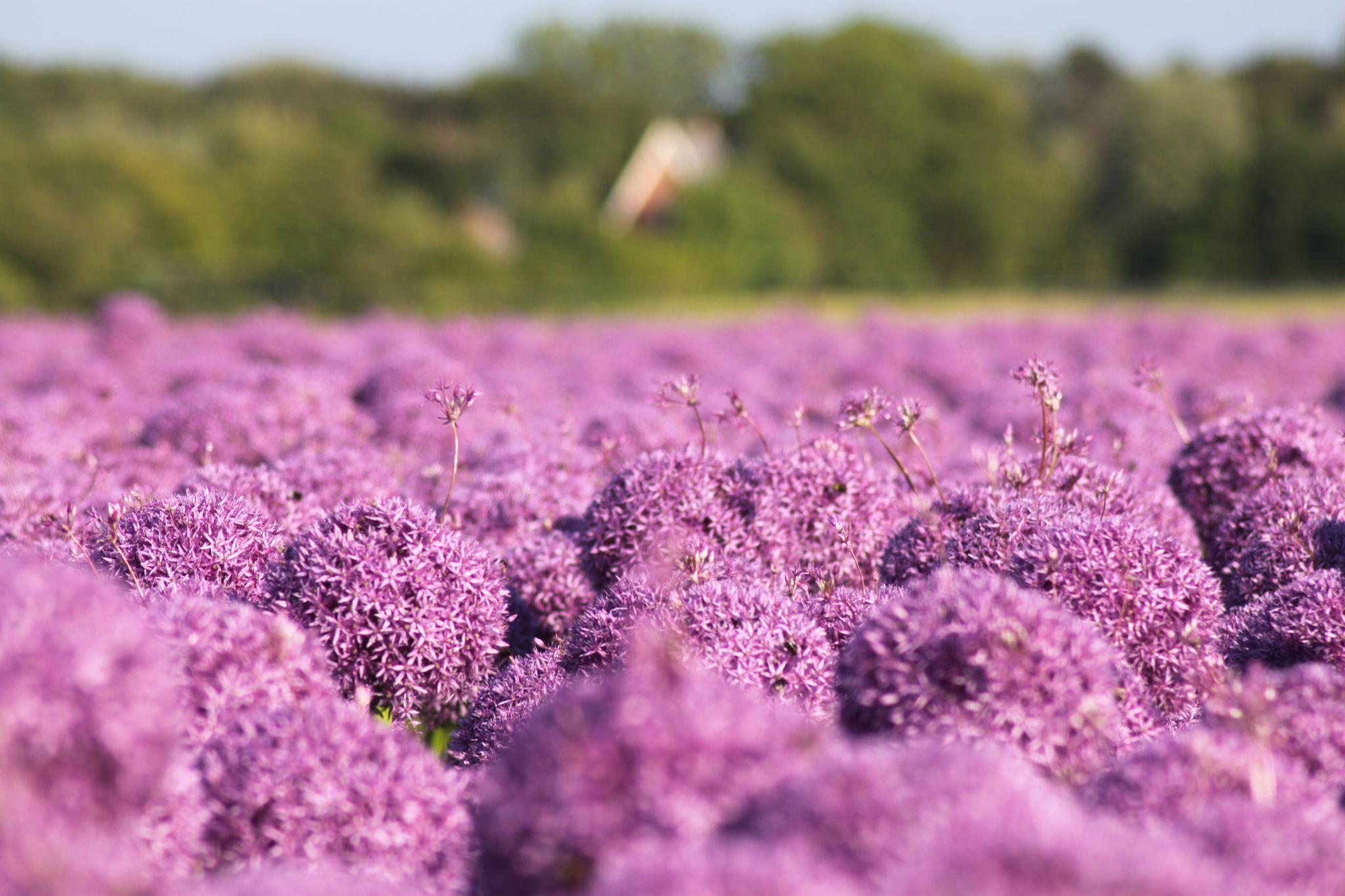 Blumenfelder, Netherlands