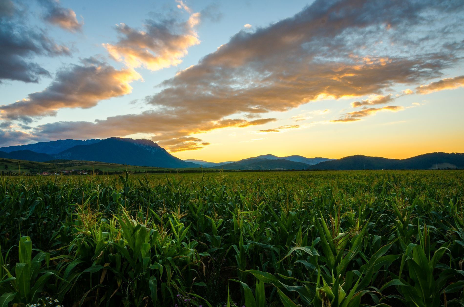 Corn field near Bran, Romania