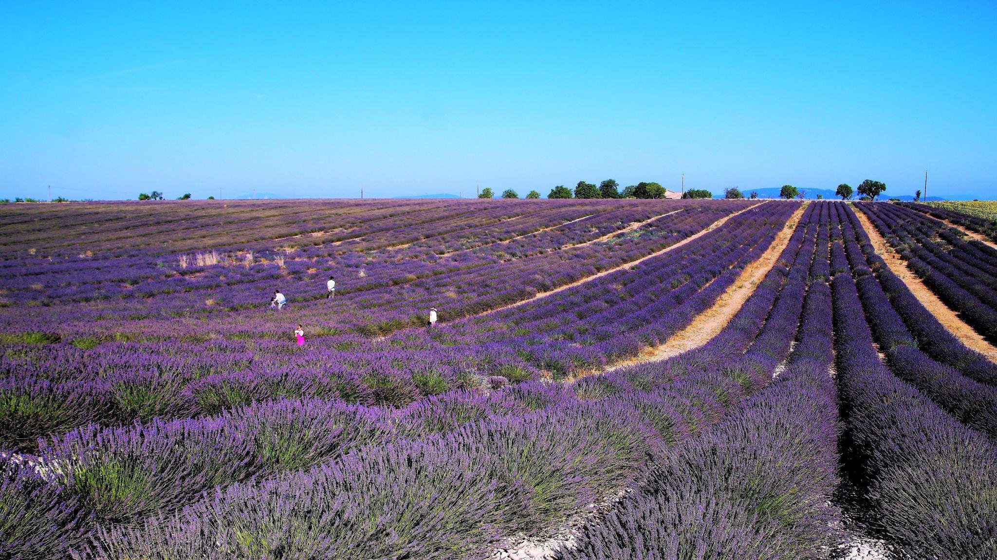 Purple Lavender Sea, France