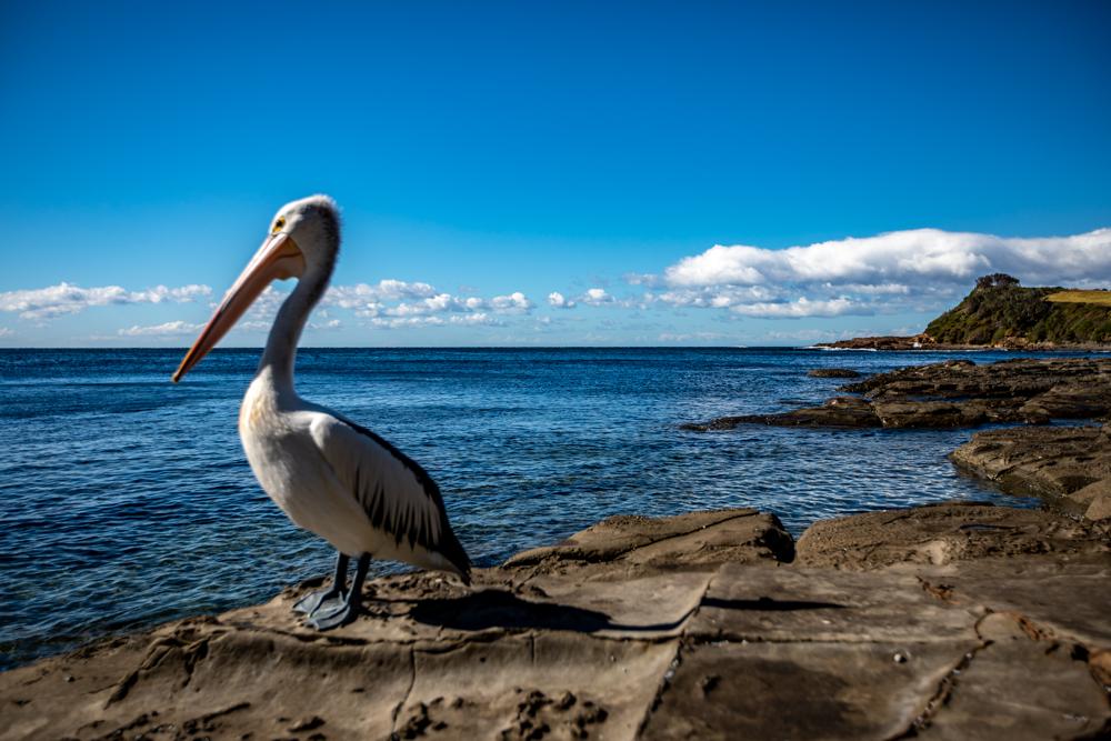 Cooke Park Pelican & Headland Gerringong, Australia