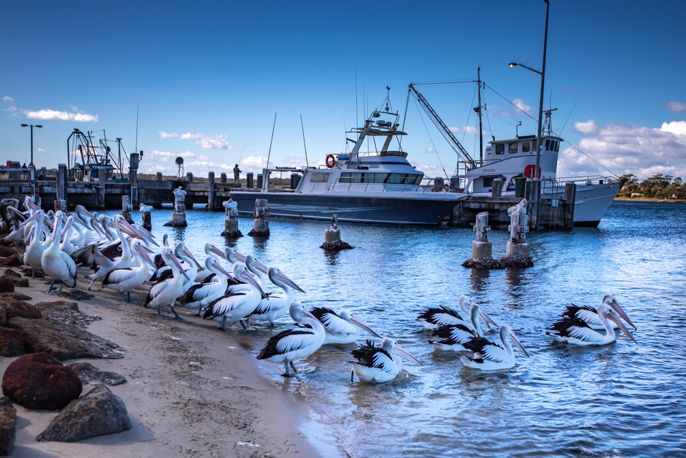 Greenwell Point Pelicans New South Wales, Australia
