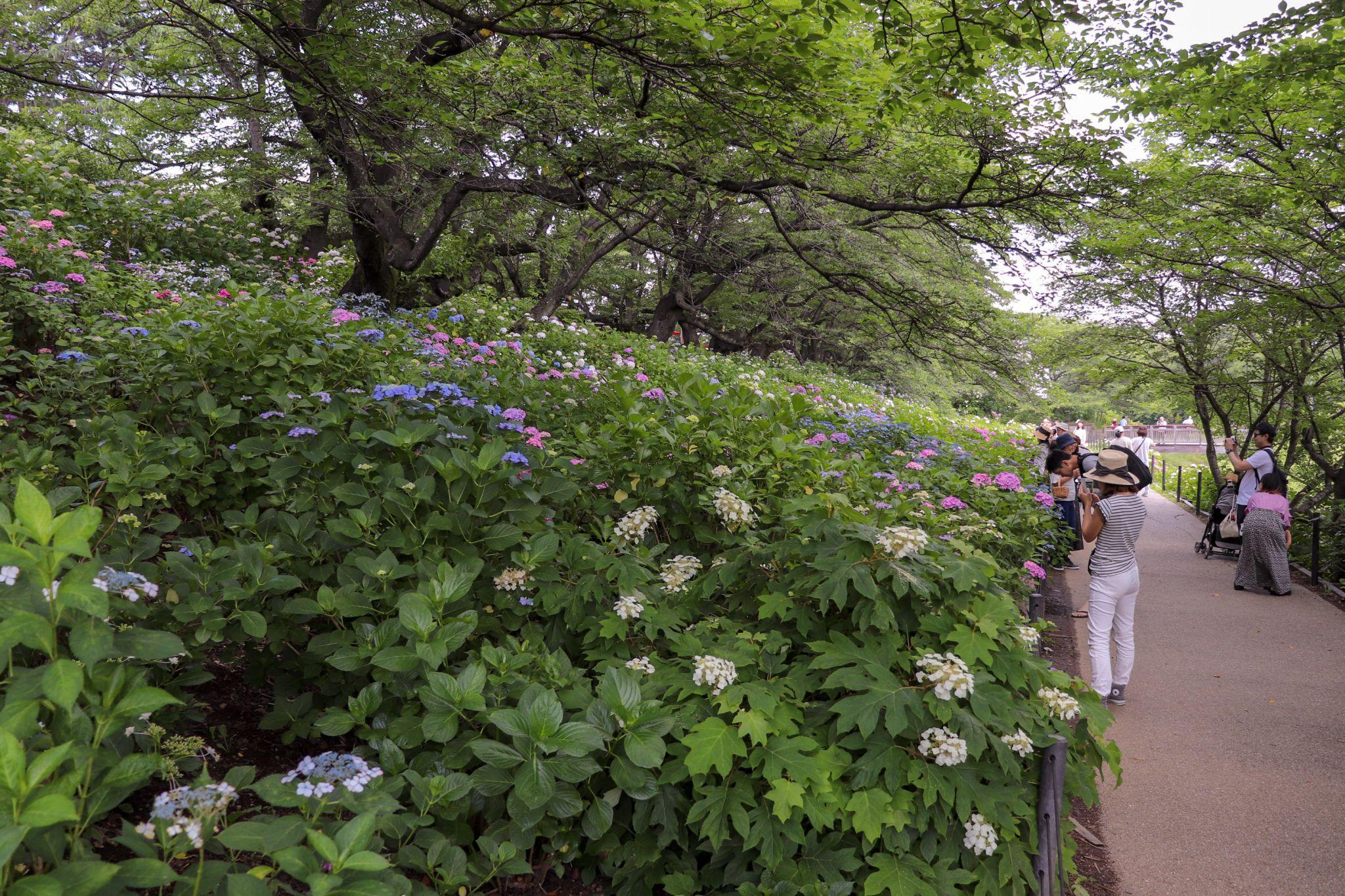 Hydrangea at Gongendo Park, Japan