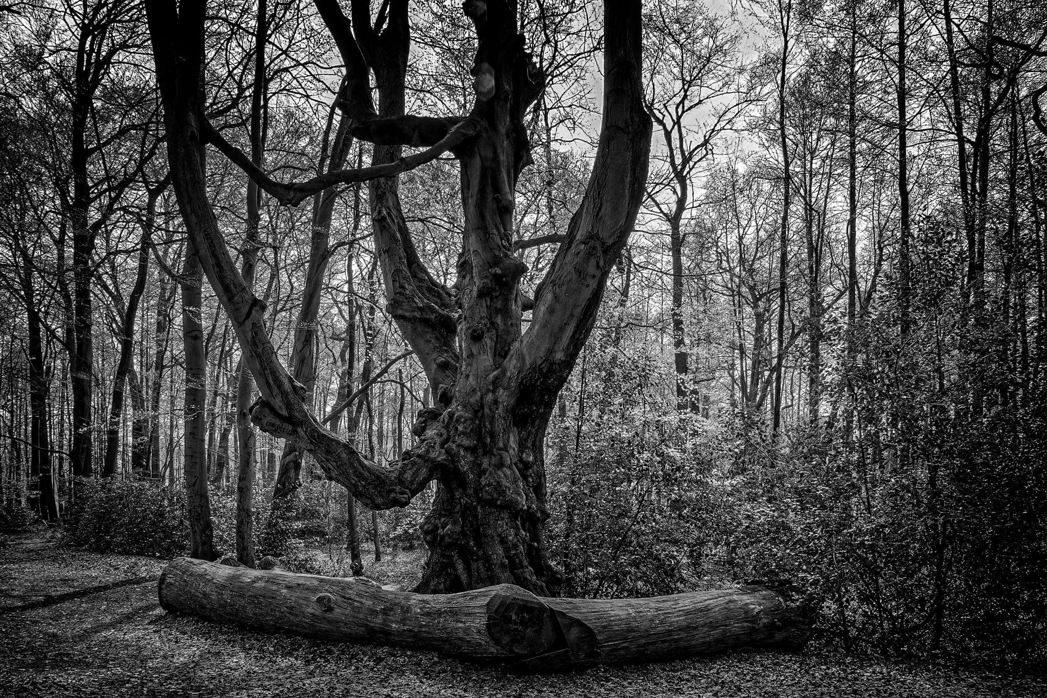 Old Beech Tree, Germany