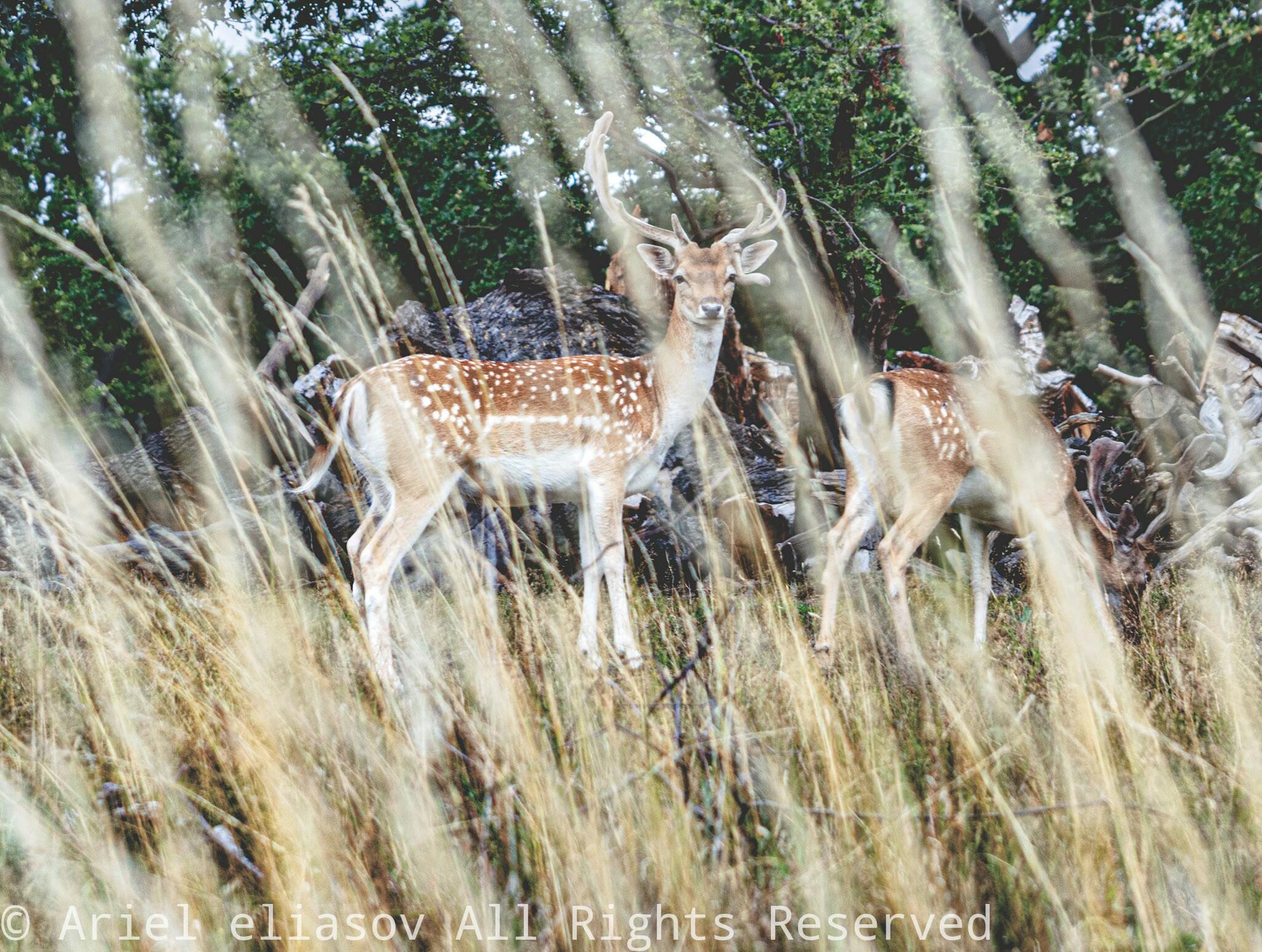 Richmond park deer, United Kingdom