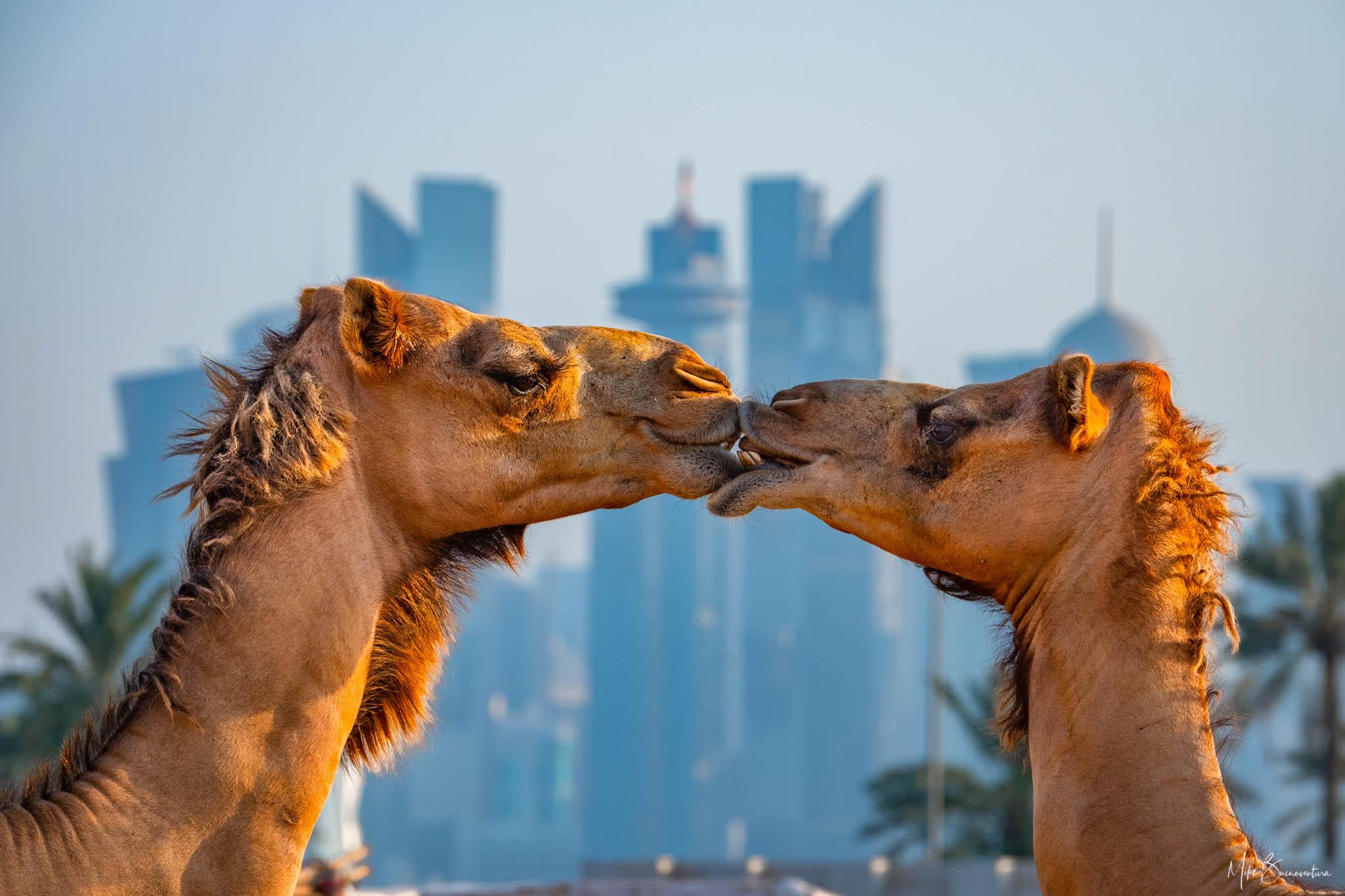 Souq Waqif Camel Station, Qatar
