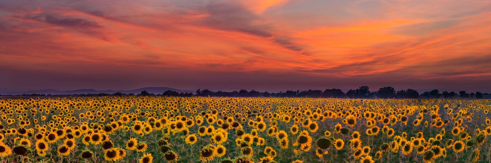 Sunflower Fields of Valensole, France