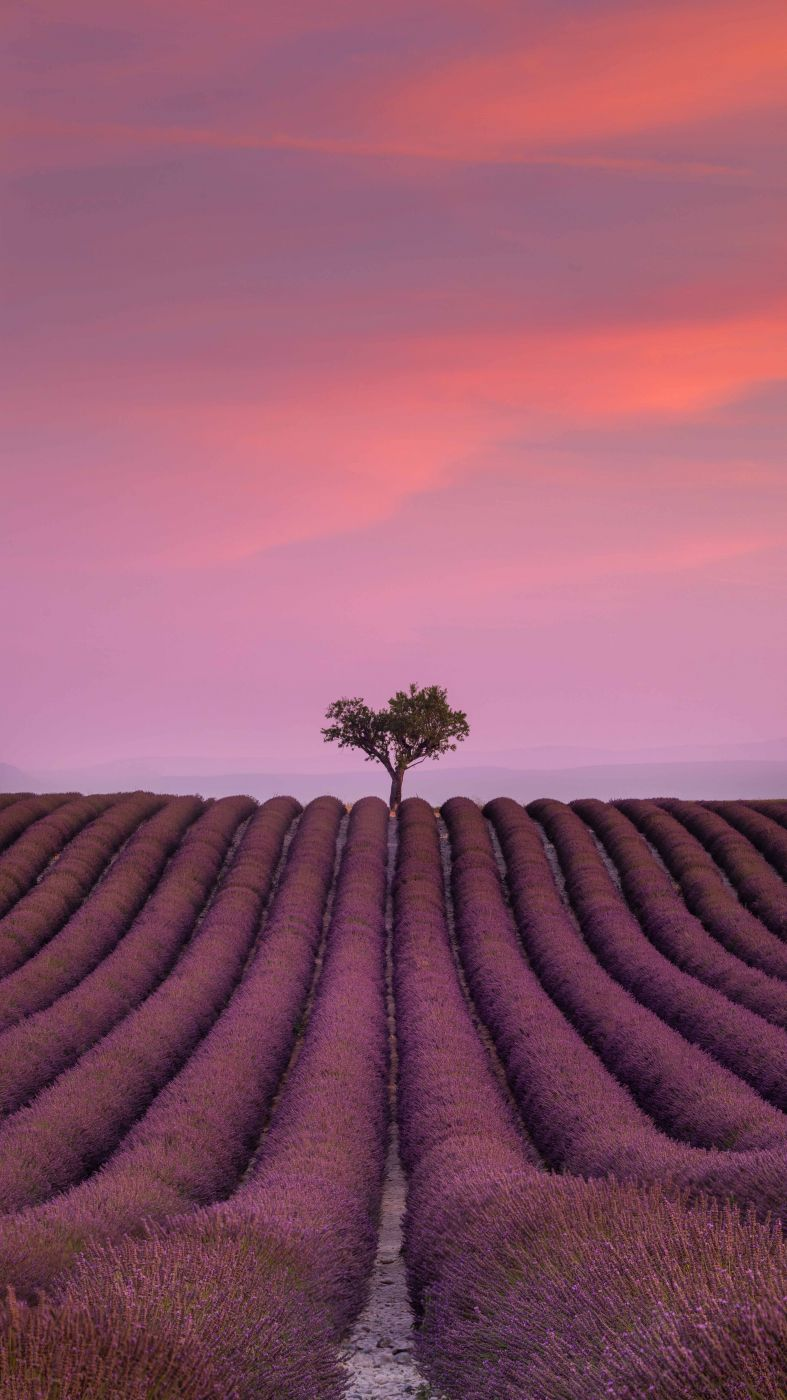 Valensole Lavender Fields, France