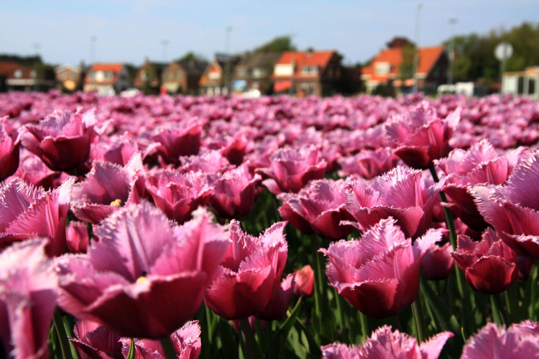 Blumenfeld, Netherlands