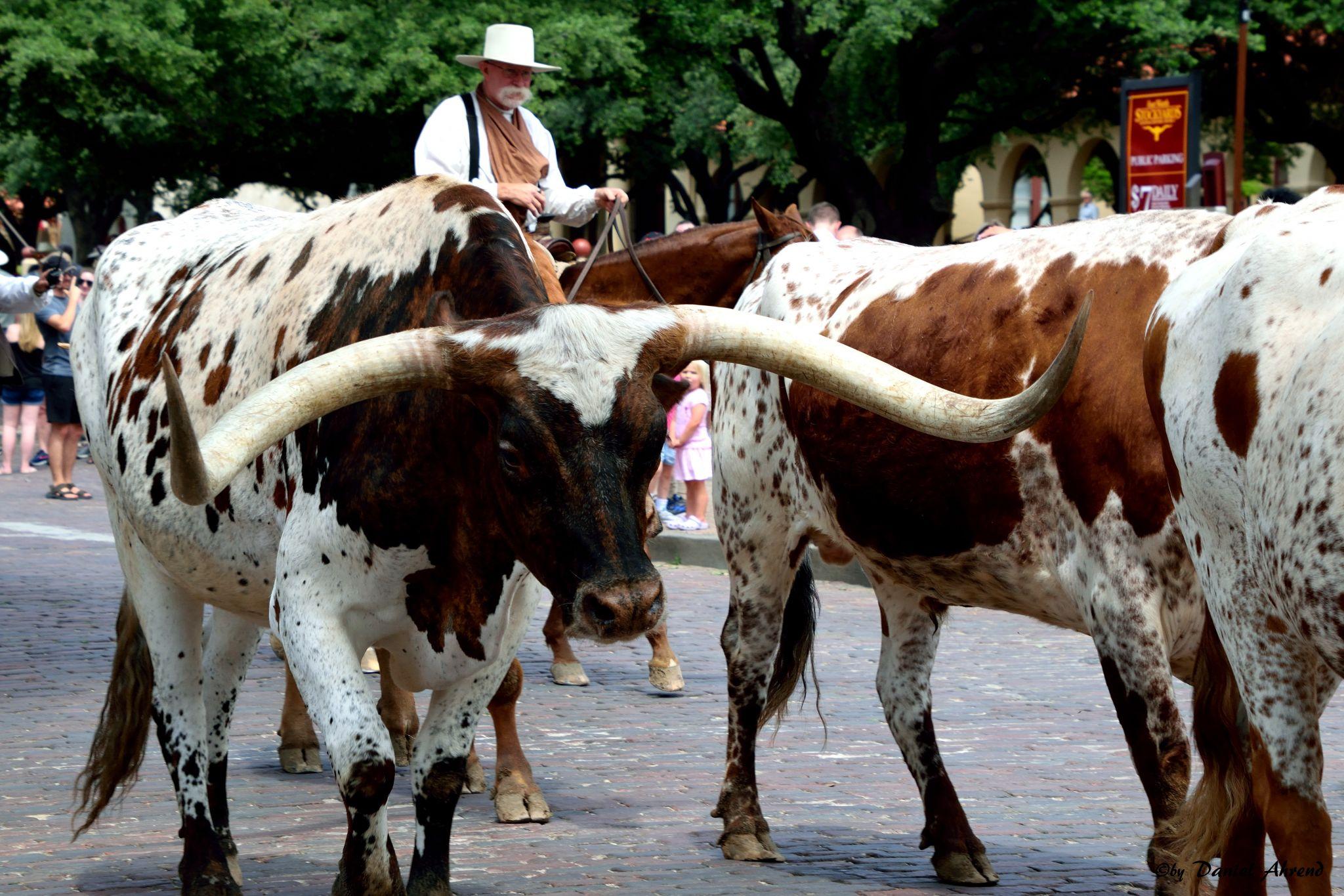 Longhorn Cattledrive in Texas, USA