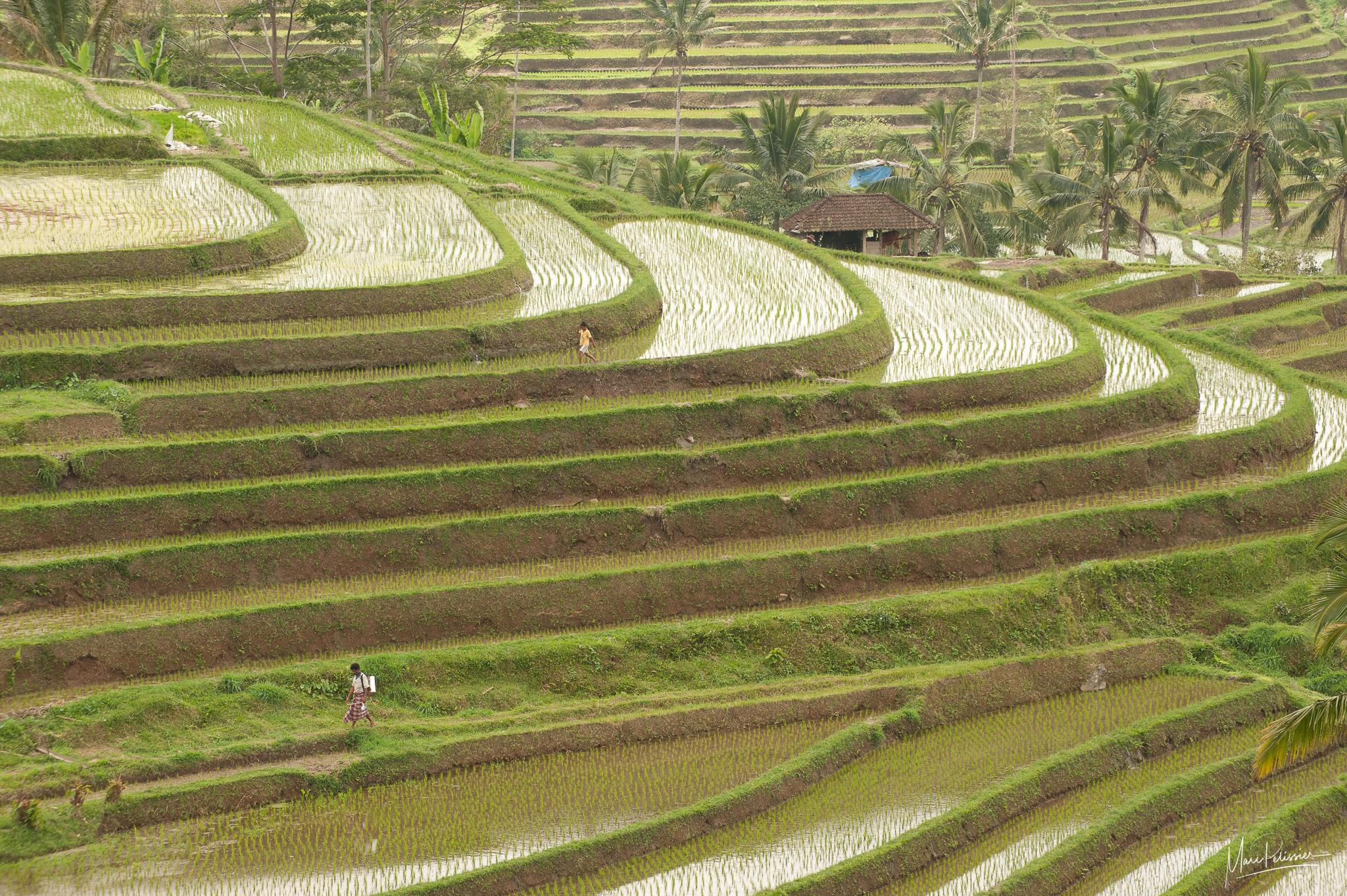 Jatiluwih Rice terrace, Indonesia