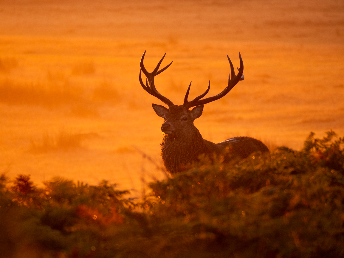 Red and Fallow deer at Bradgate Park, United Kingdom