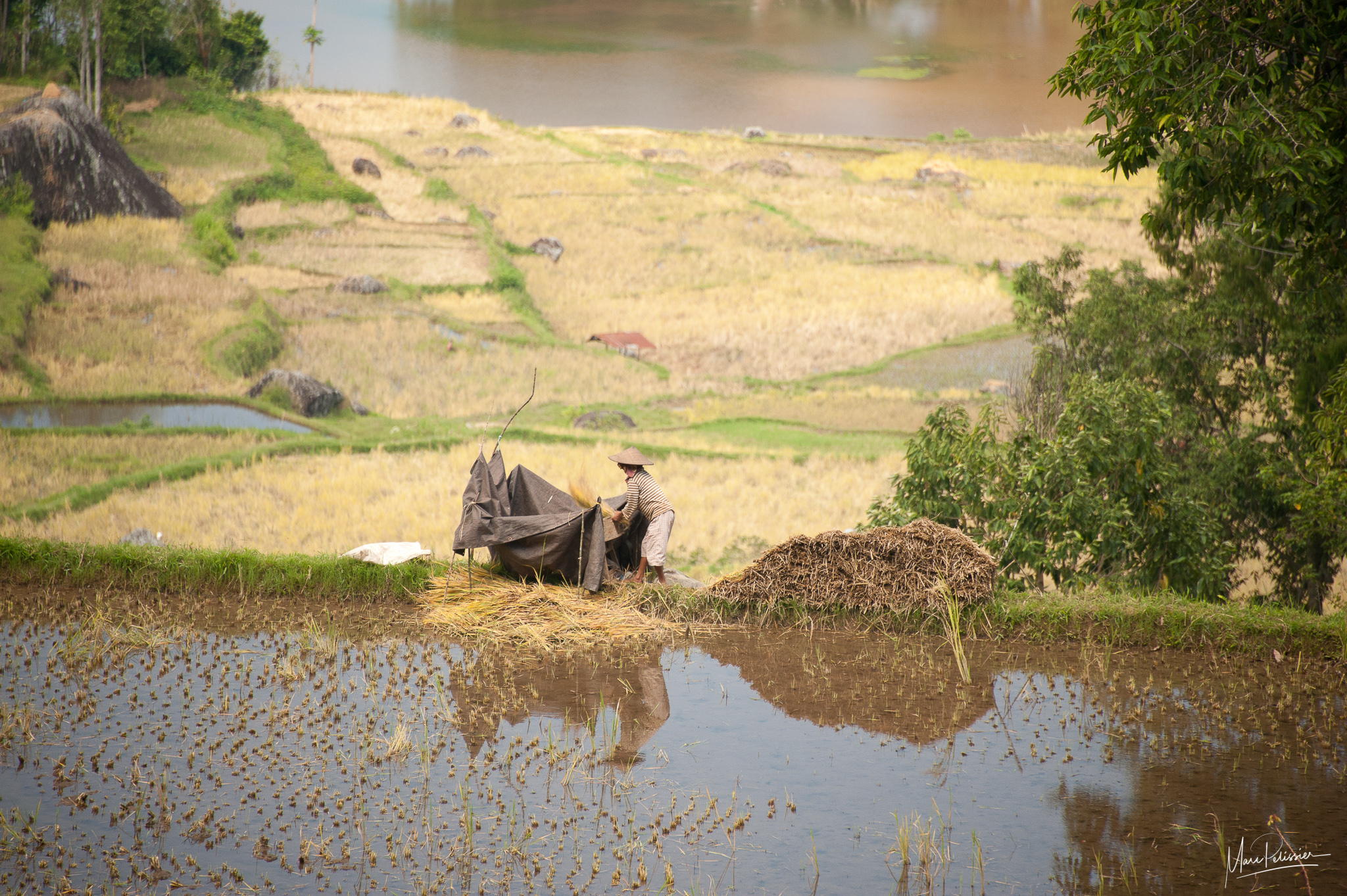 Rice work along the field, Indonesia