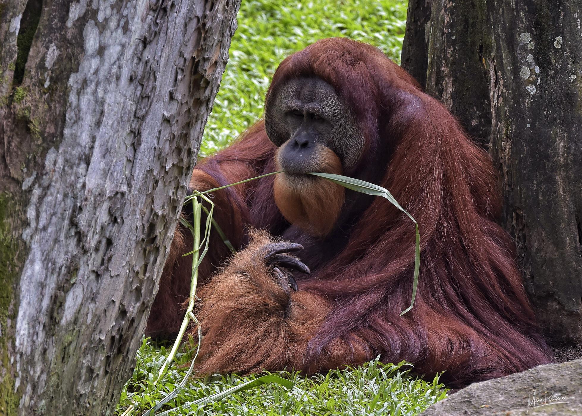 Singapore zoo - monkey section, Singapore