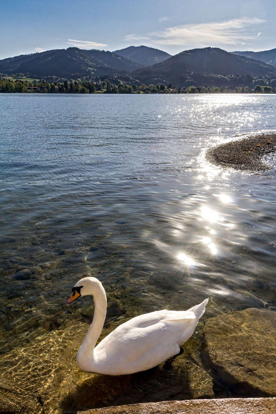 Tegernsee Swan, Germany
